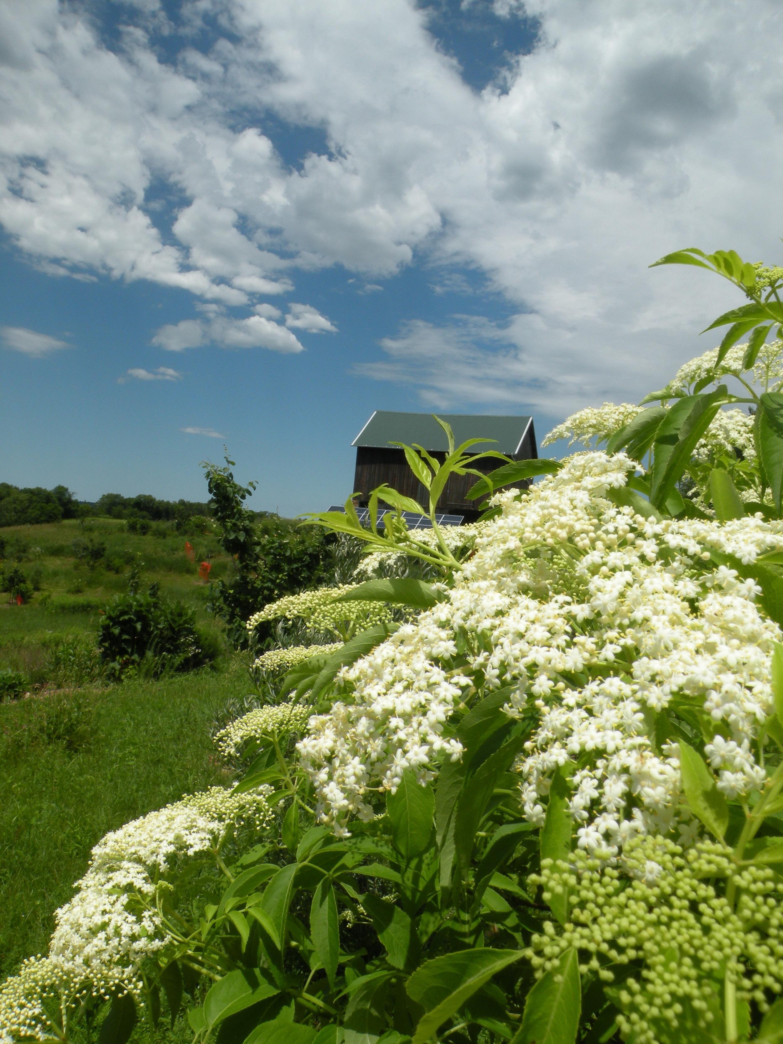 elderflowers.jpg