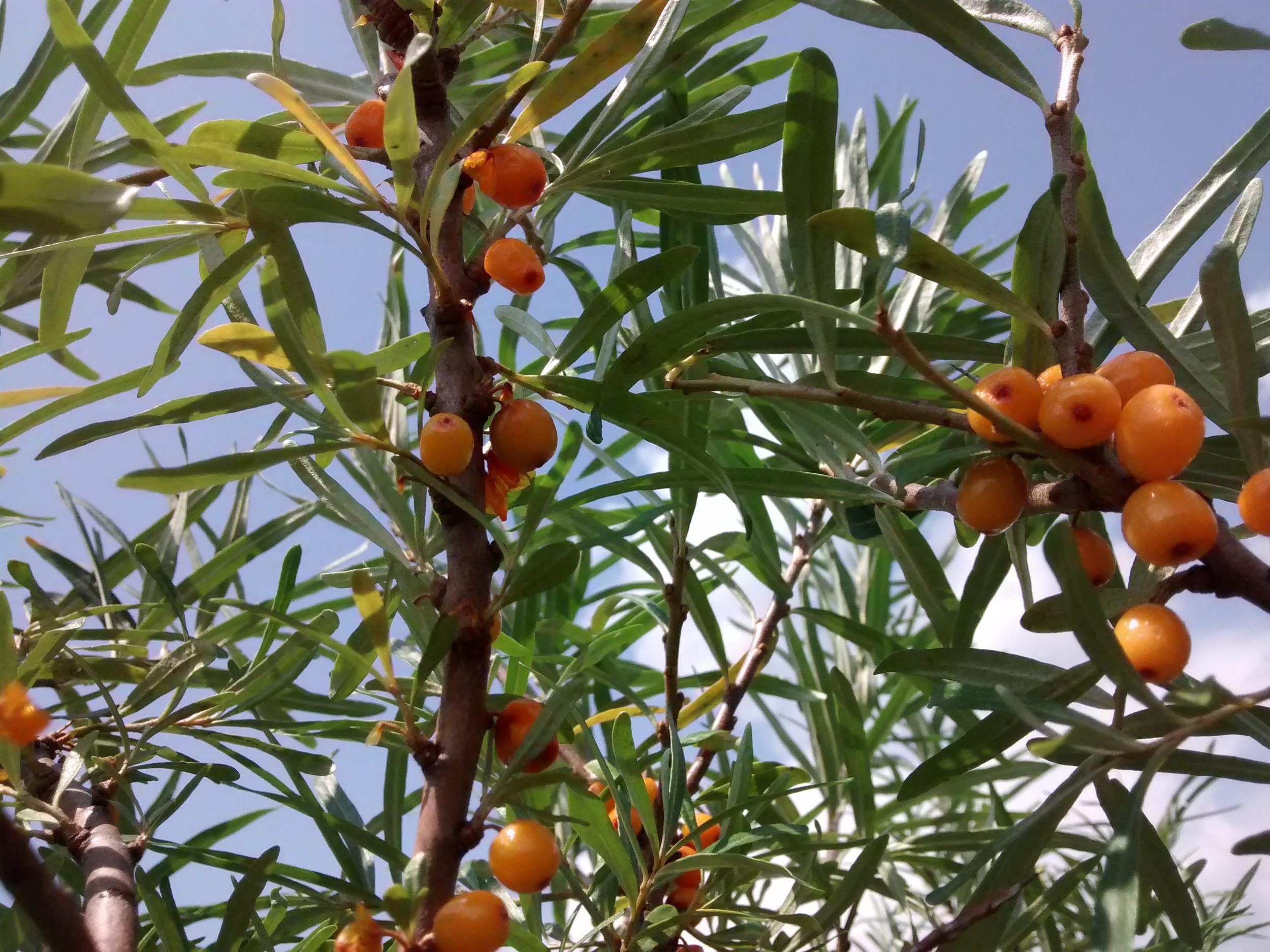 Seaberry fruit, August 2014 - orange is the new orange