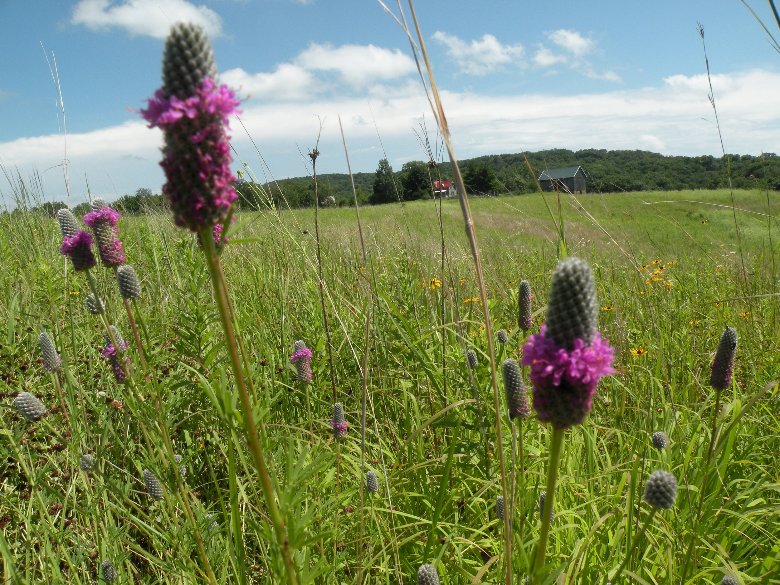 Purple Prairie Clover in our Prairie