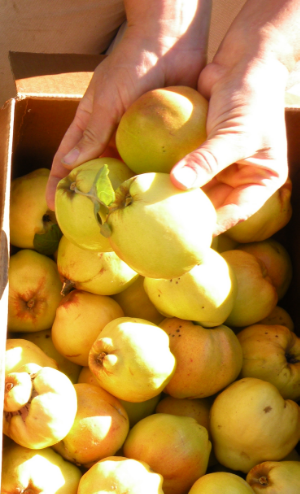 Enjoying the feel of the love apple as we sort through the early October Quince harvest. Photo by Rob McClure