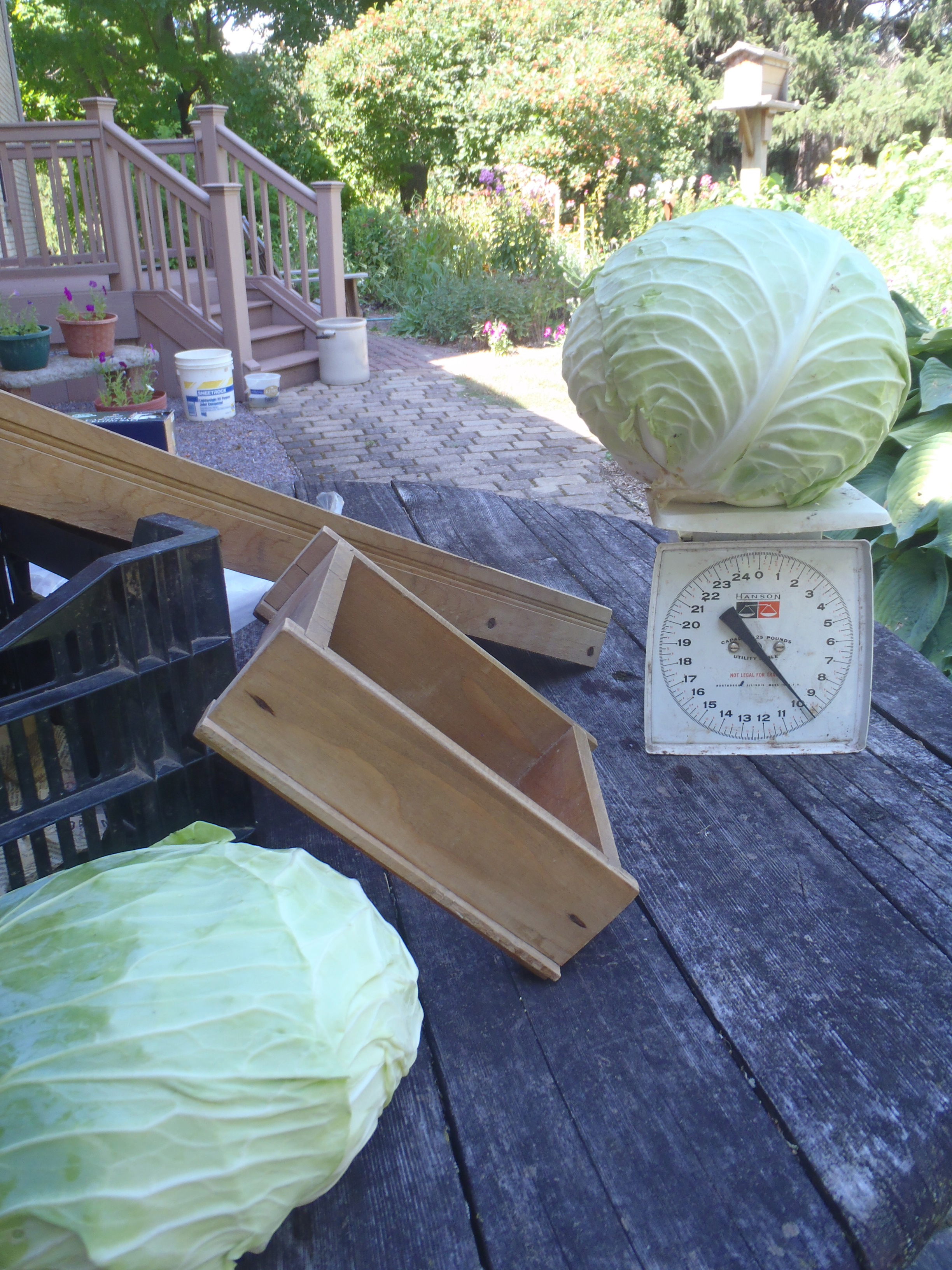 Cabbage ready for krautmaking. Cabbage was one of many  vegetables that did well this year on the farm