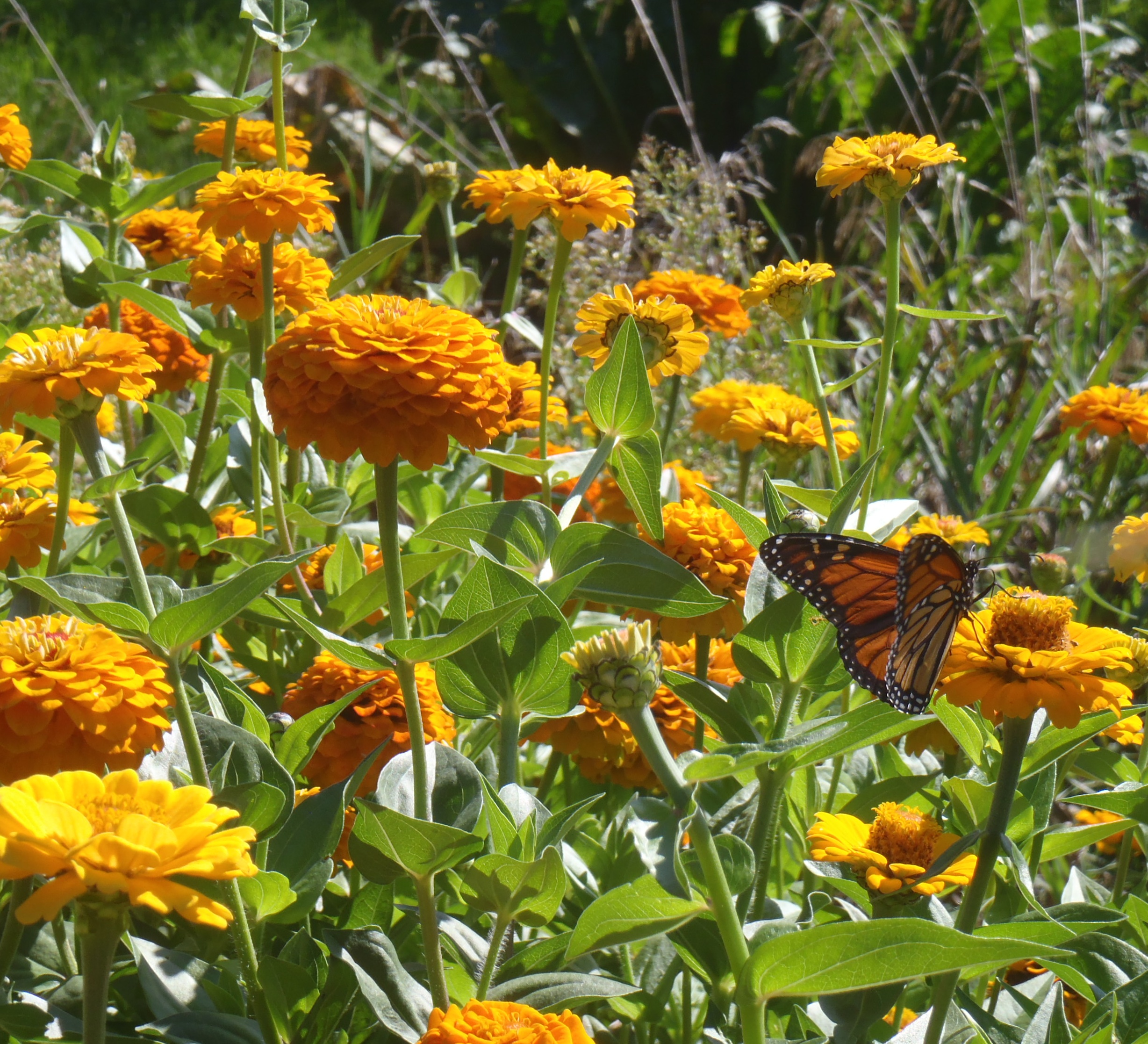 Bees and butterflies love zinnias for its pollen. In the language of flowers zinnias represent friendship and exuberence. Zinnias show us the way to remain beautiful and joyous through rain, wind, chilly nights and infiltrations of insects and human equivalents. Photo by Erin Schneider