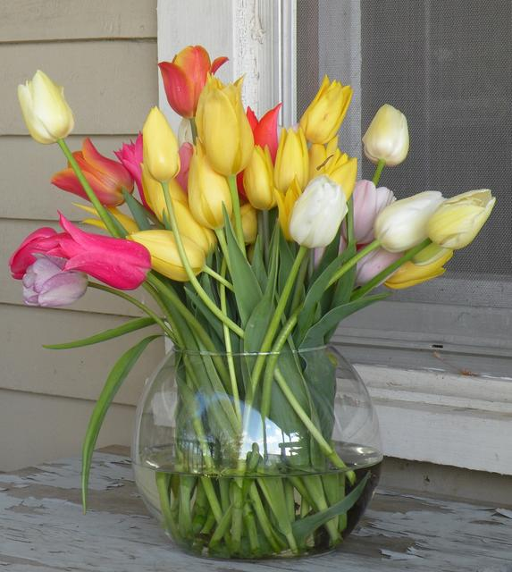 Tulips will continue to grow in your     vase. Trim the bottom stems or enjoy    the evolution of blossom growth     in your bouquet. Photo by Rob McClure