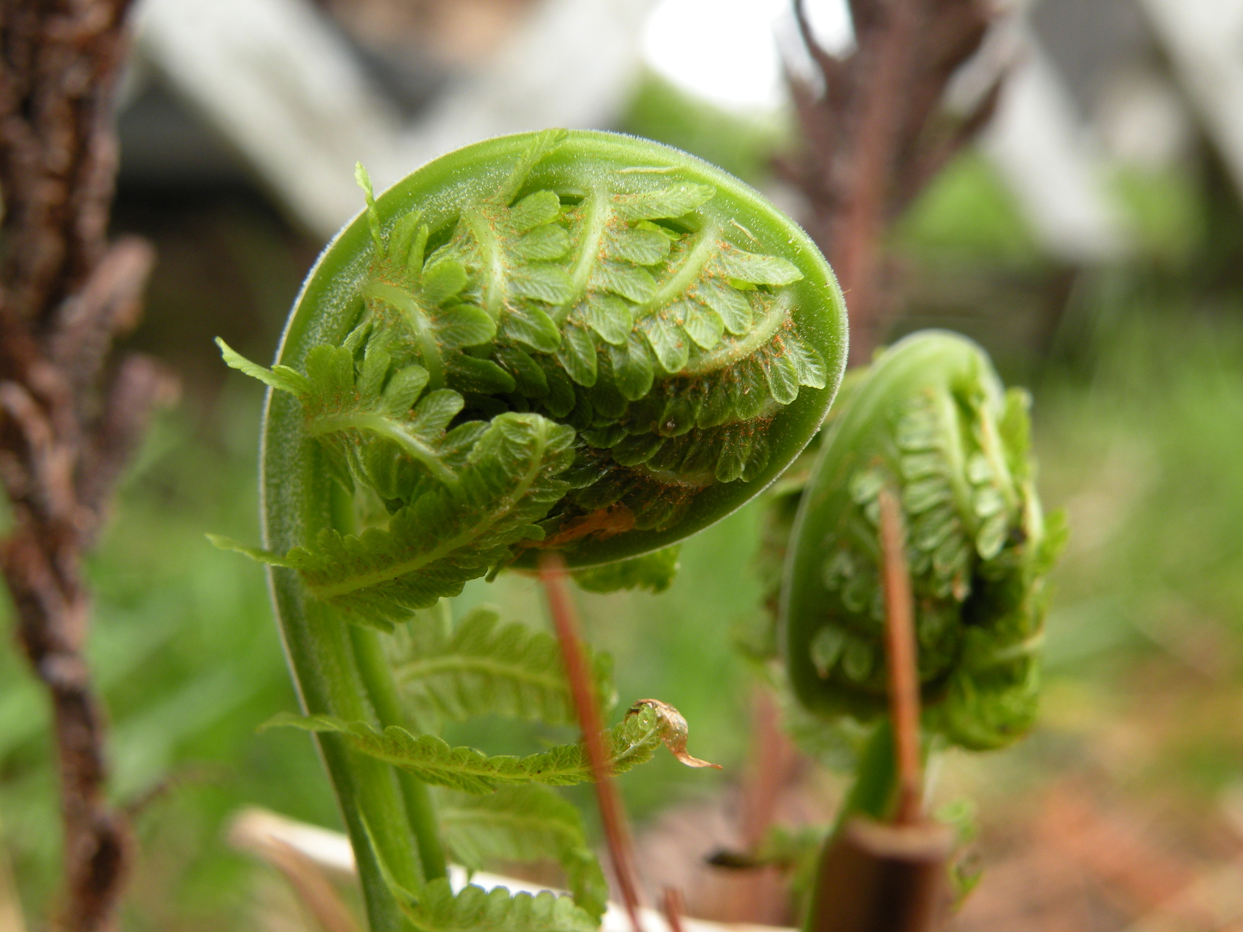 Fiddleheads, young fern leaves unfurling, fine tune the forest floor. Despite setbacks, mother nature always provides us with a hit of spring ephemeral mojo. Photo by Rob McClure