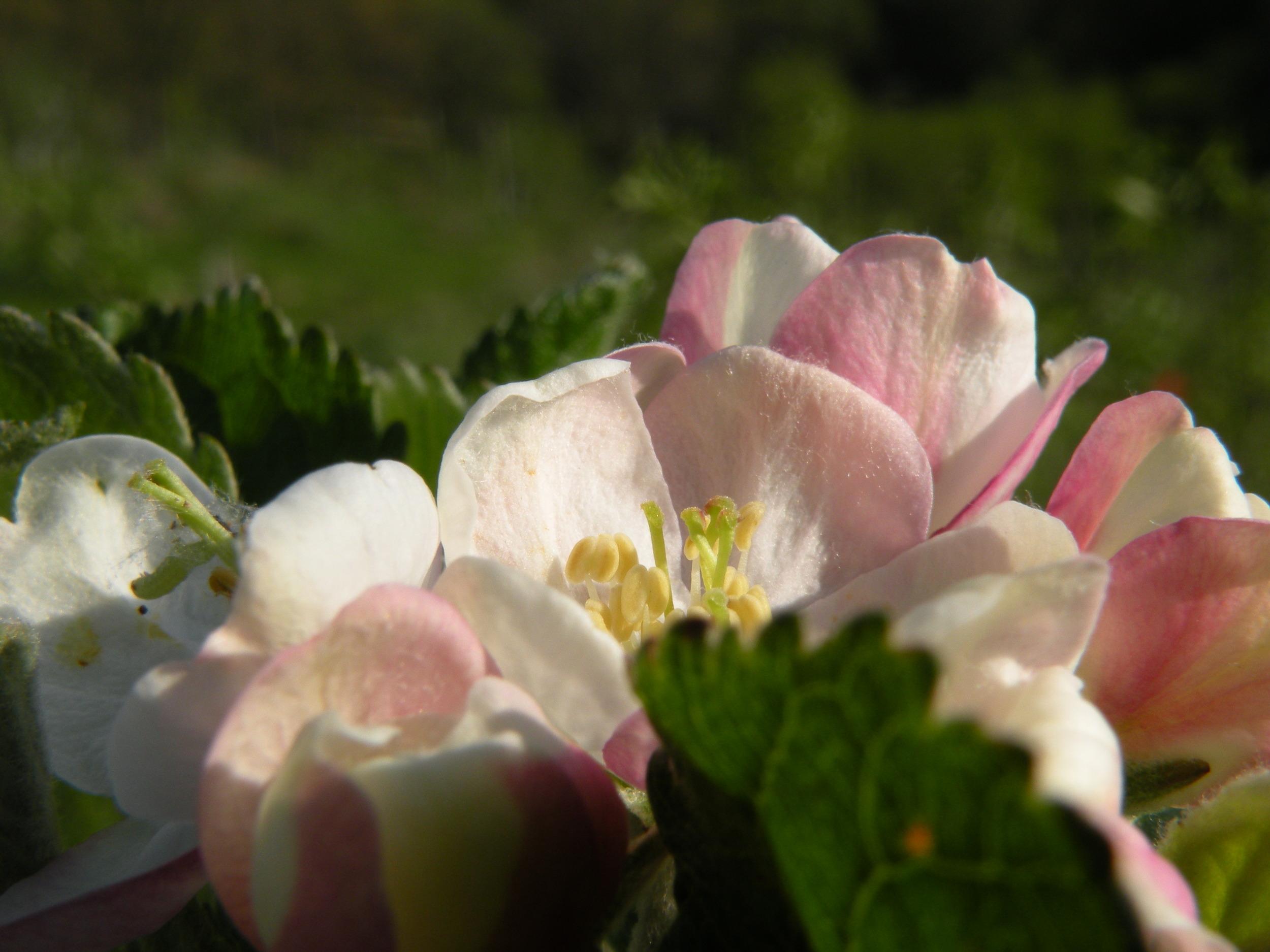 Apple blossoms unfolding