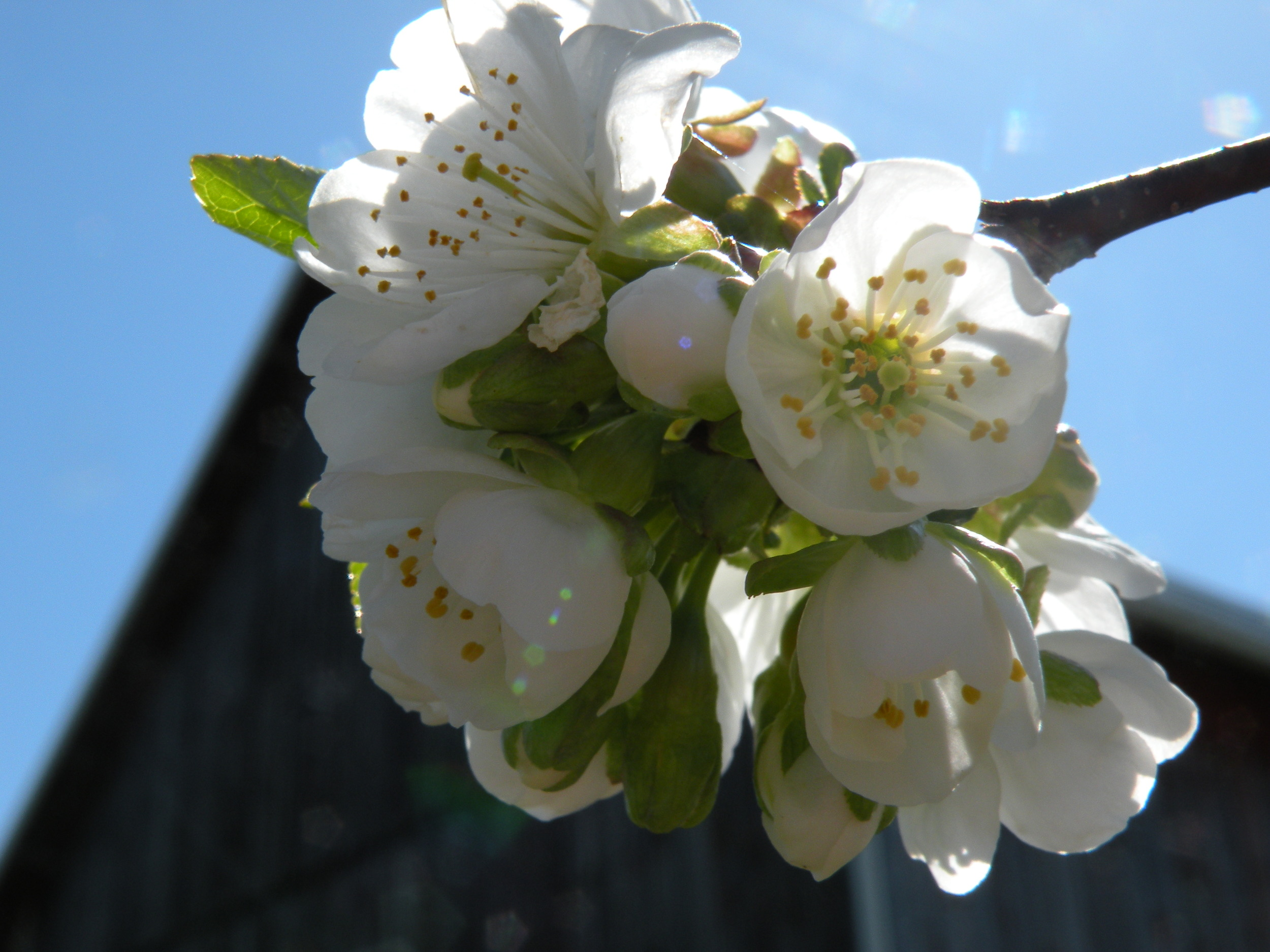 Cherry Blossom Bliss