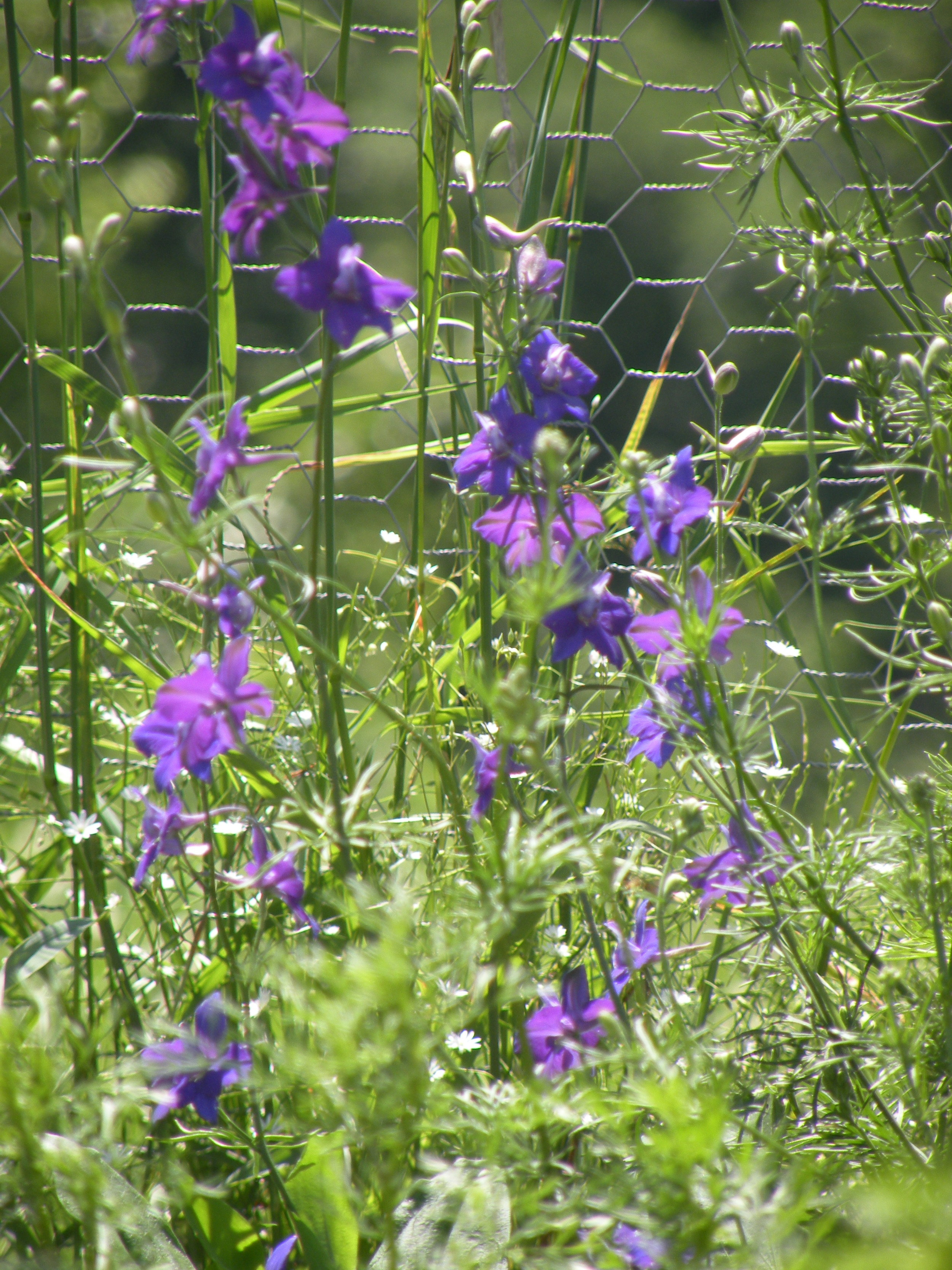 Larkspur blossoms opening along the flower field edges. Photo by Rob McClure
