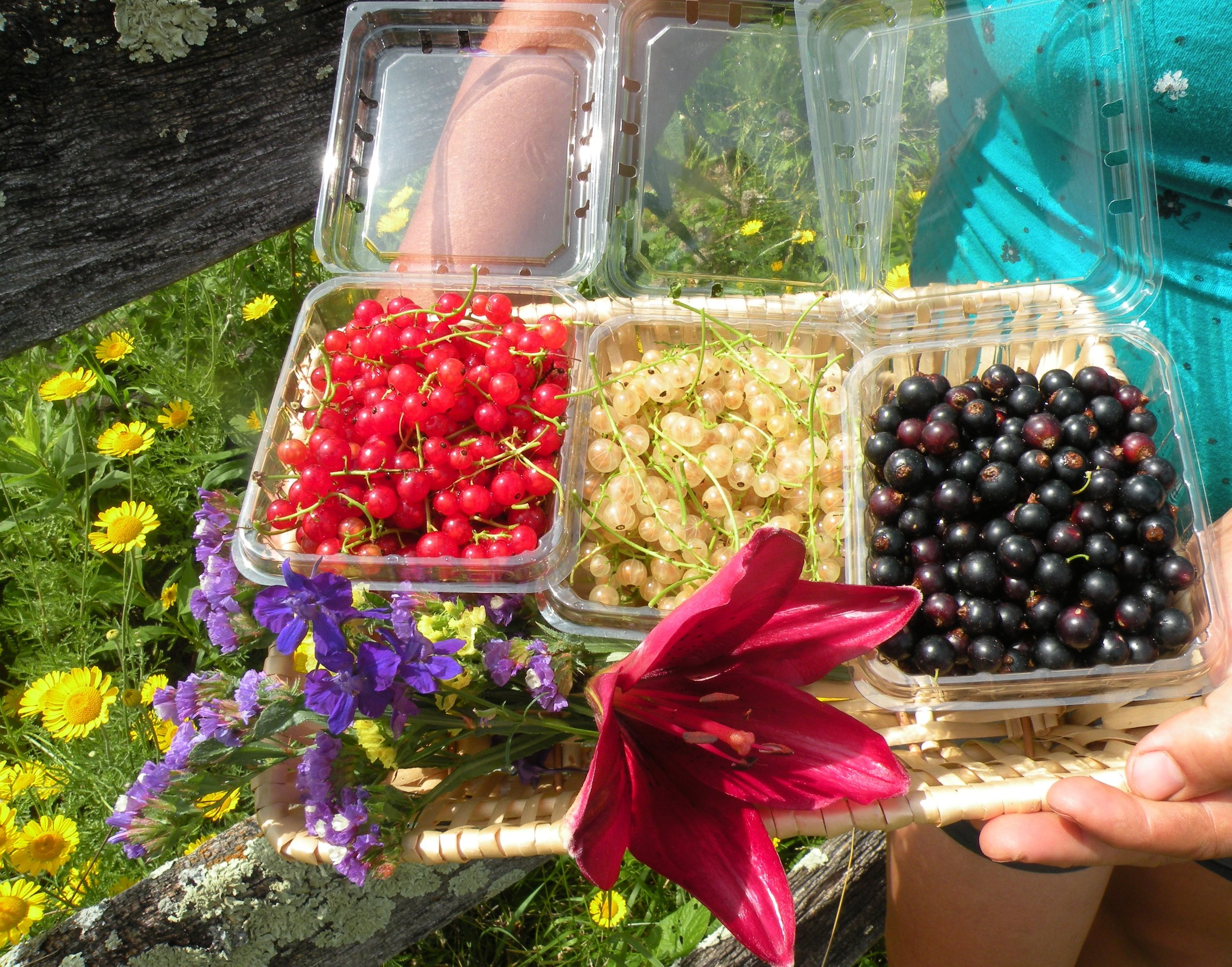 A sampling of red, white, and black currants