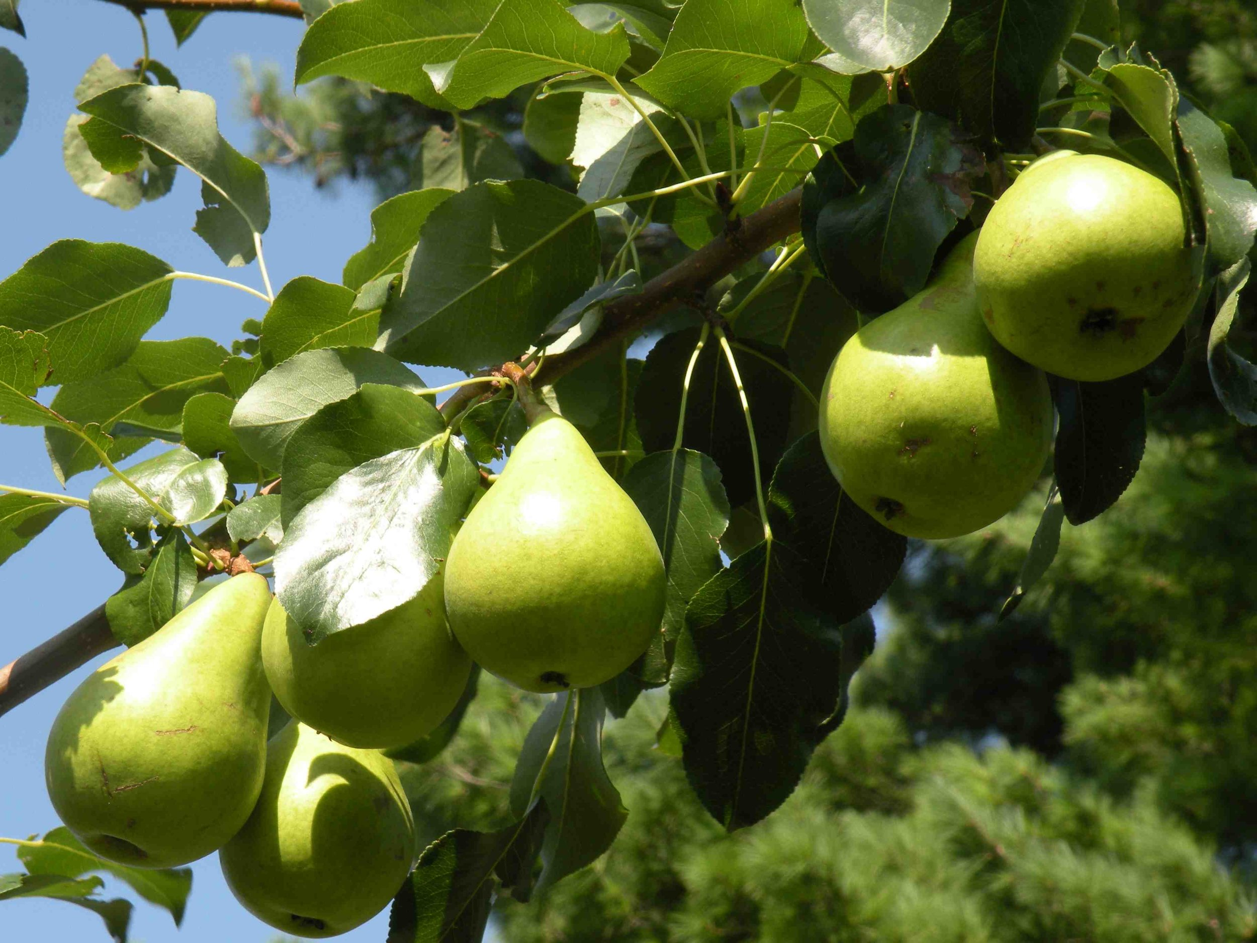 Pears ripening
