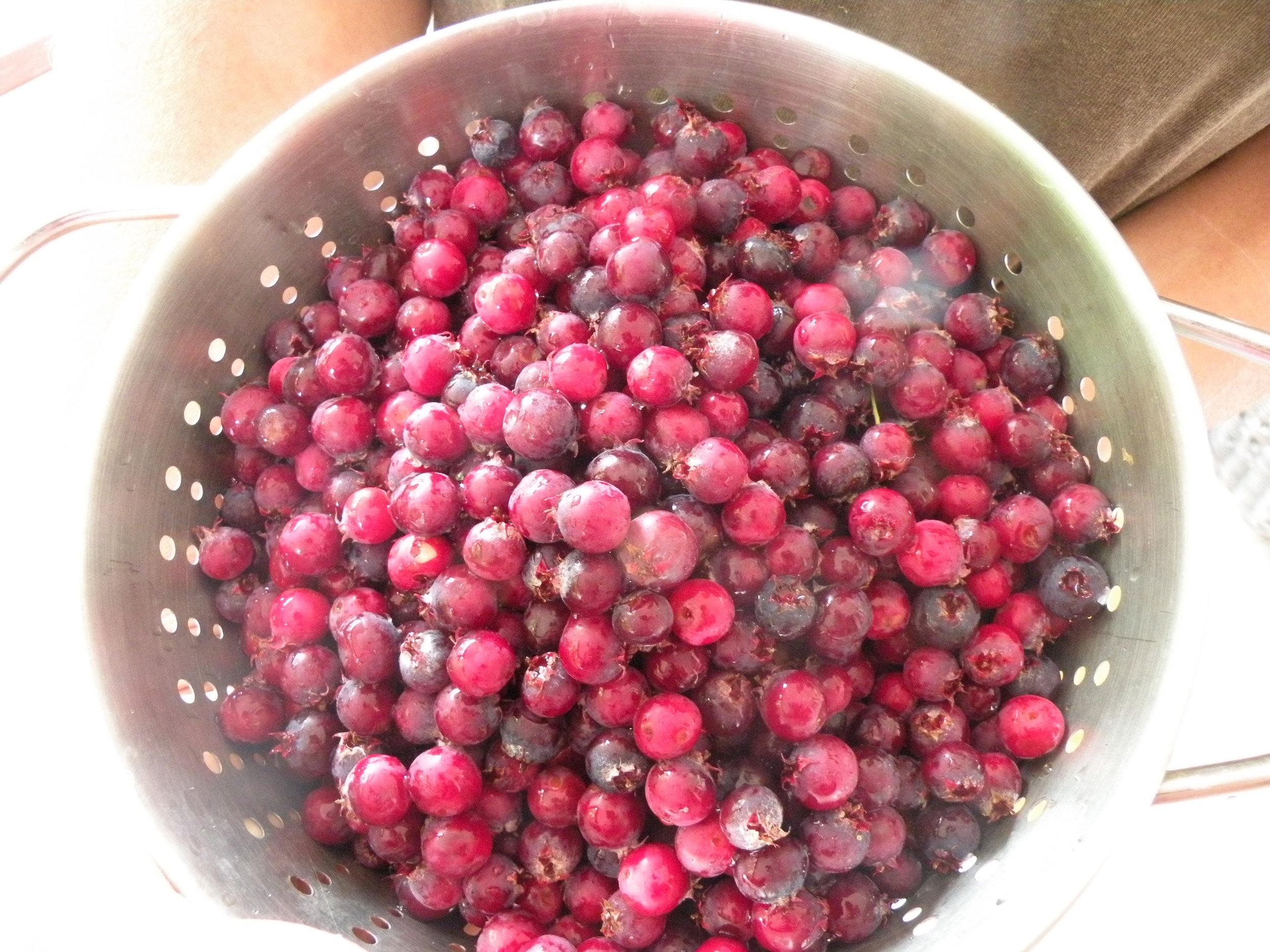 serviceberry harvest  .jpg