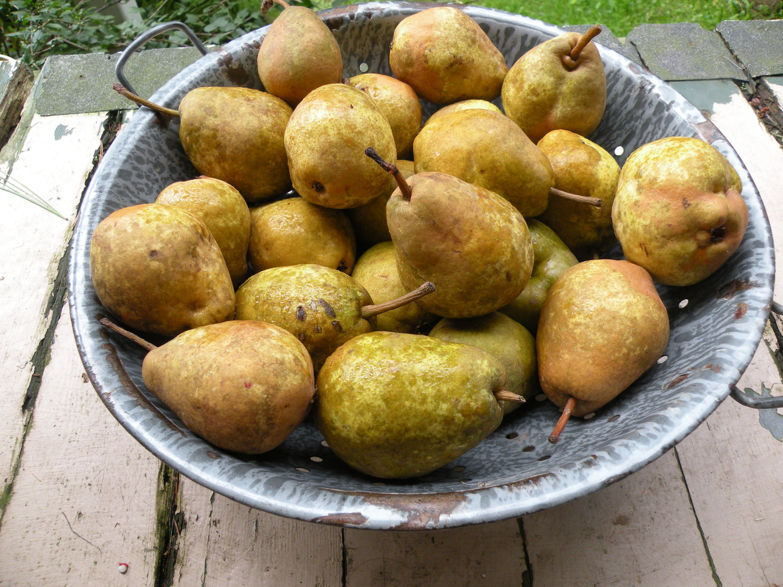 Ripe Clapp's Favorite Pears