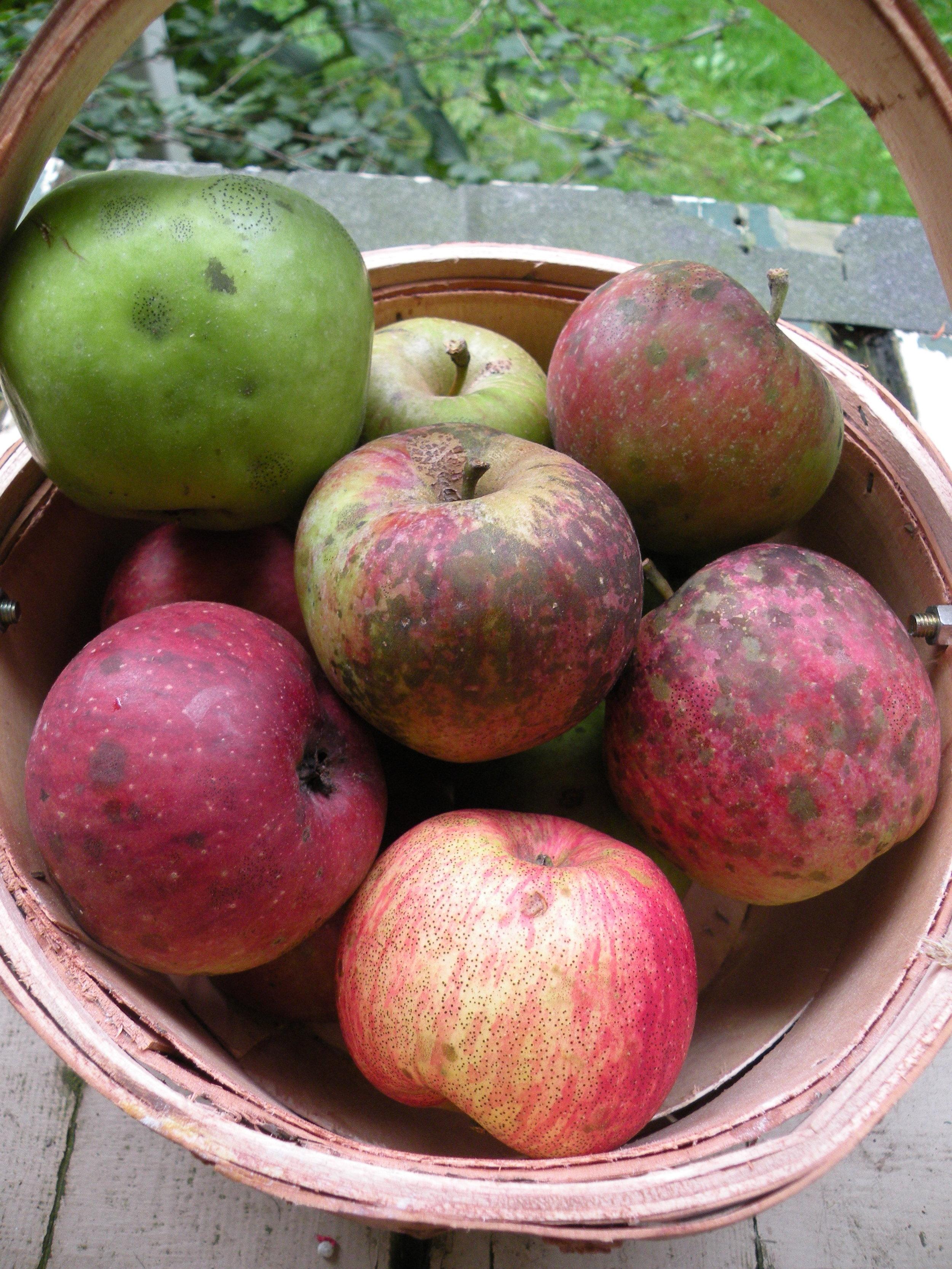 mixed basket of heirloom apples 9 - 25 = 16.jpg