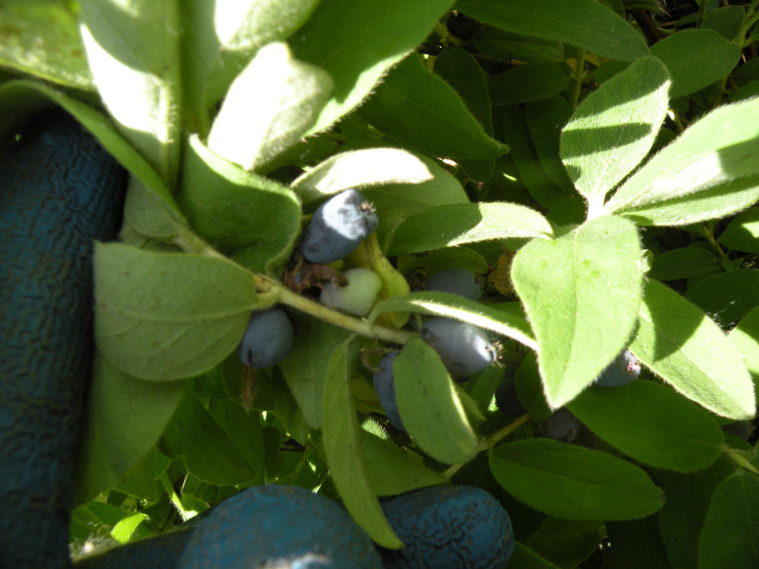 Honeyberry ripening