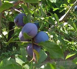Plum-Mt-Royal-fruit.jpg