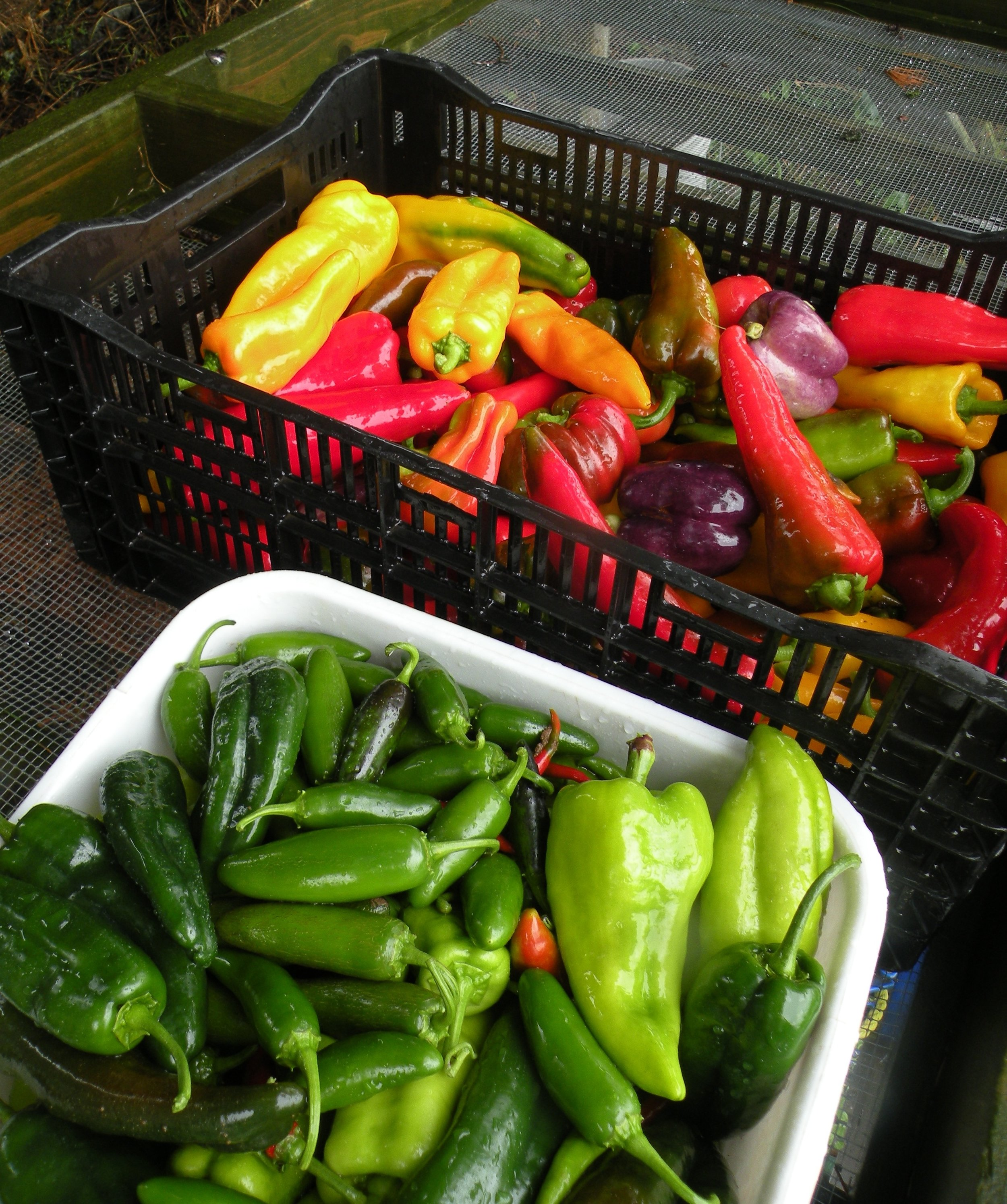 pepper harvest 8 - 26 - 16.jpg
