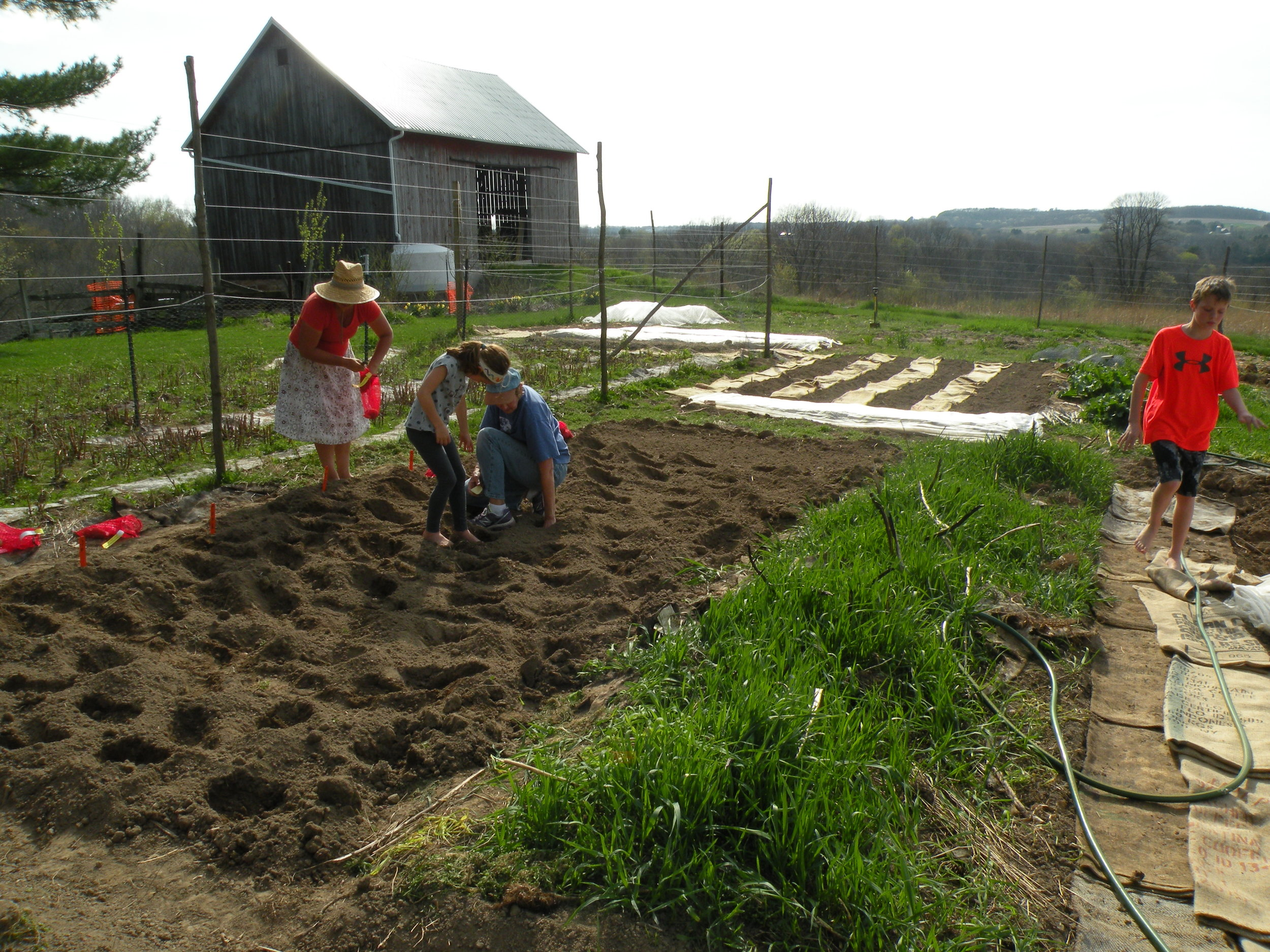 Farm members helping plant potatoes for the season as part of our organic potato variety trial
