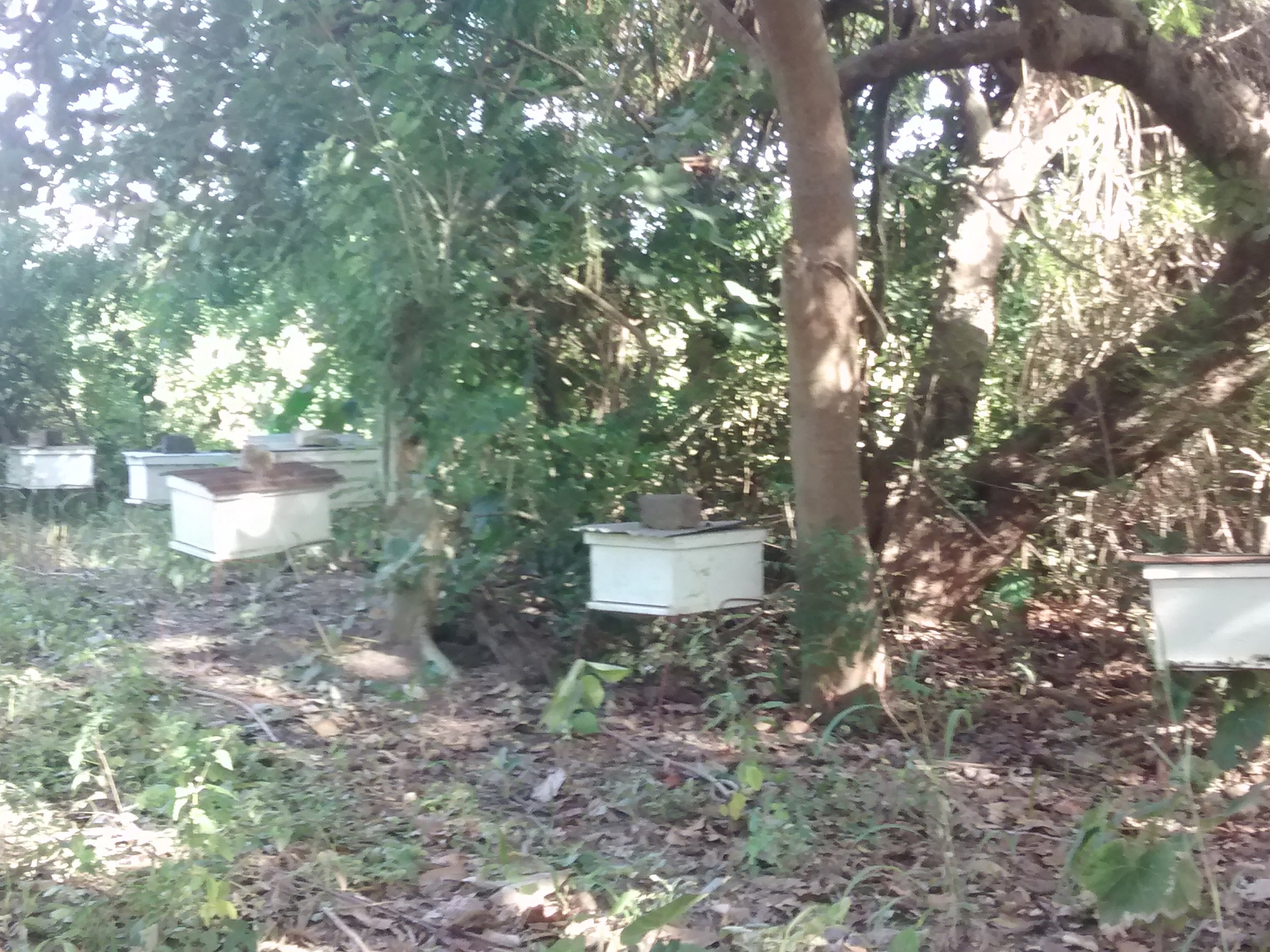 Langstoth hives perched under the mango and cashew canopy at farms around Missirah. Photo by Erin Schneider