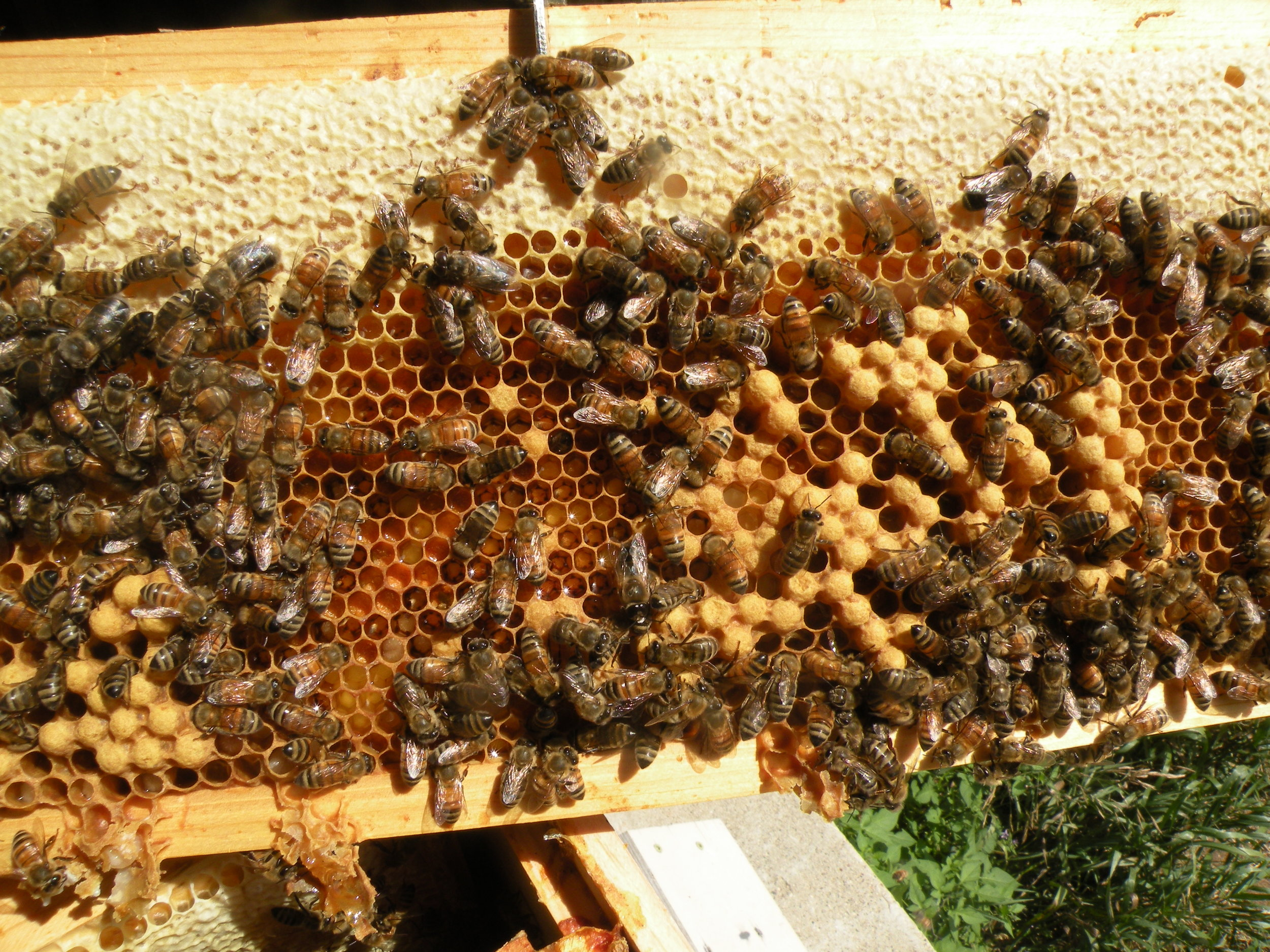 Typical brood laying pattern on beehive frame. Photo by Erin Schneider