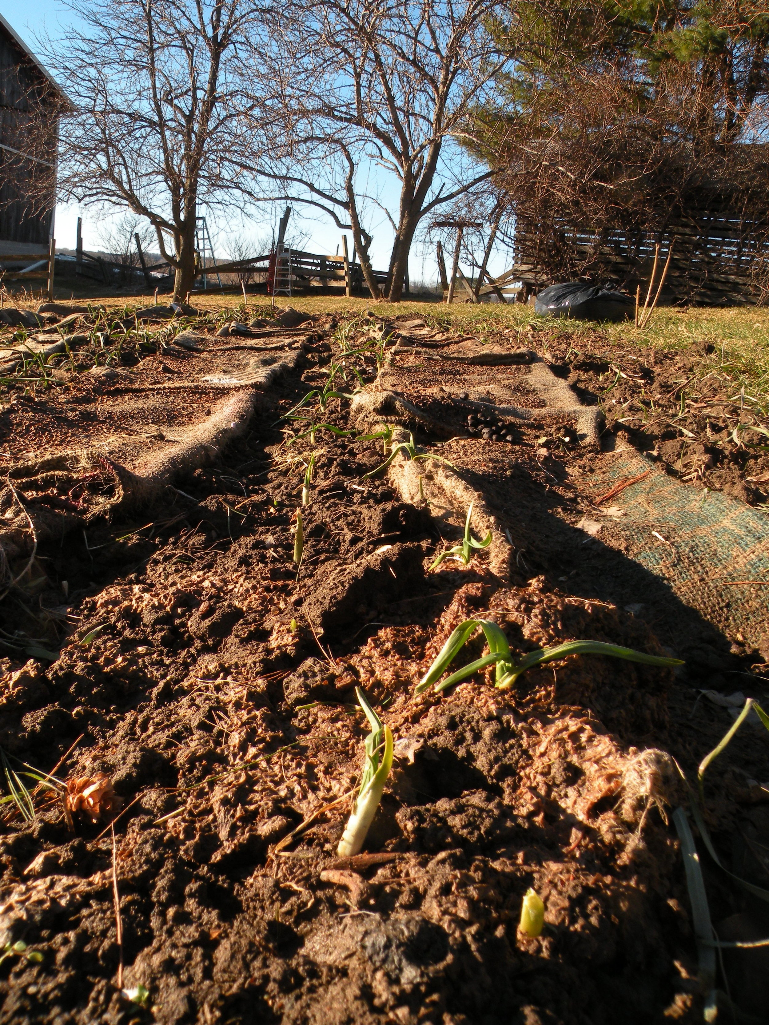 Garlic poking through the ground on February 18. Record warm temps disrupt the farm's phenology and our production plans.