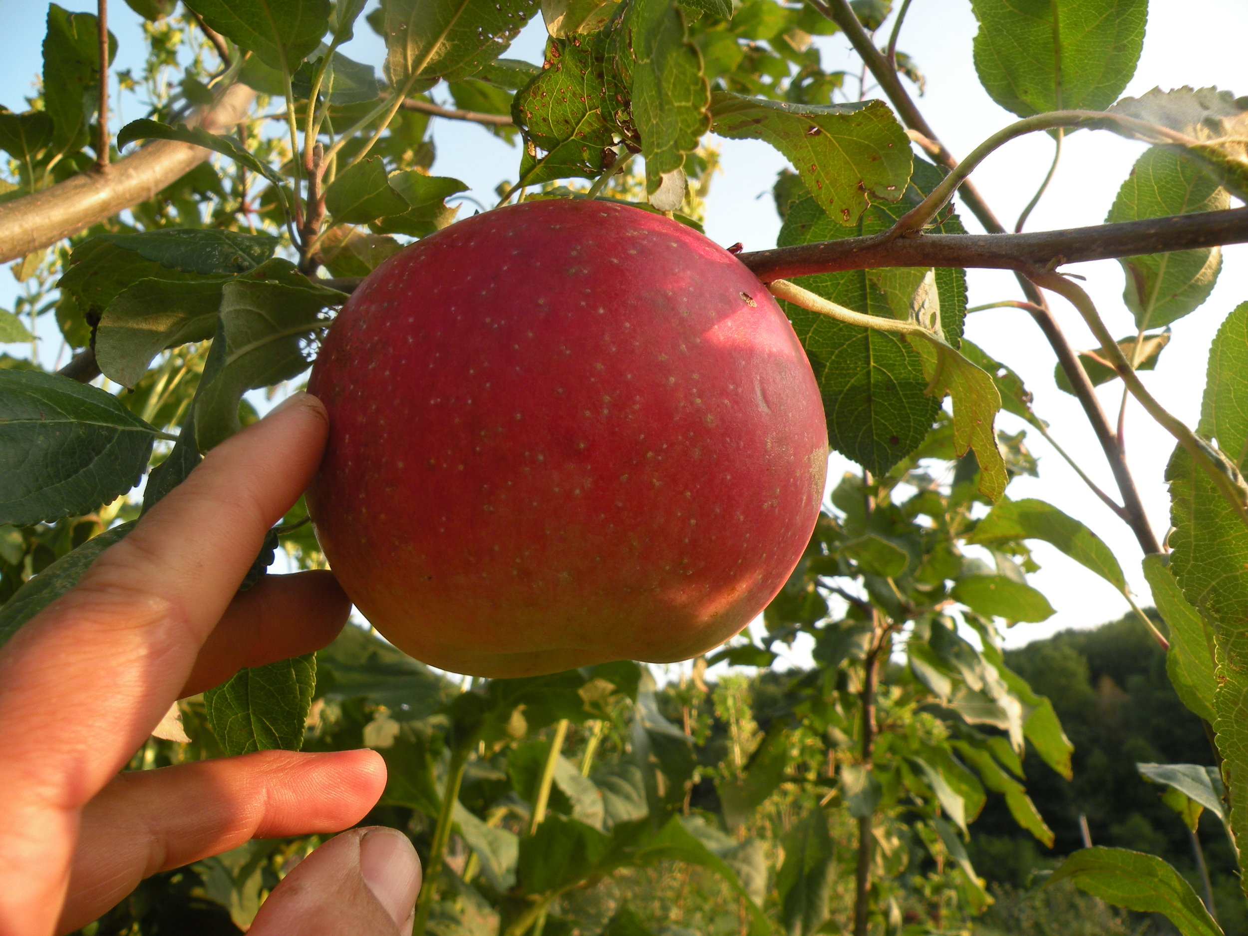 Zestar apple ripening on our young tree. We are just starting to harvest the rewards of planting apple trees 2 - 3 years ago. Photo by Erin Schneider