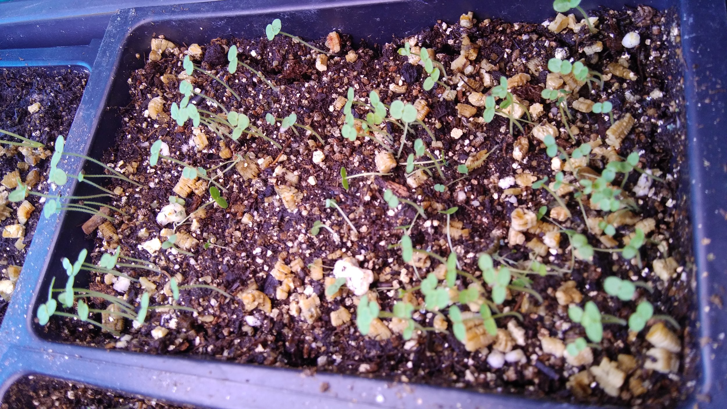 young madame butterfly snapdragon seedlings emerging. Photo by Erin Schneider