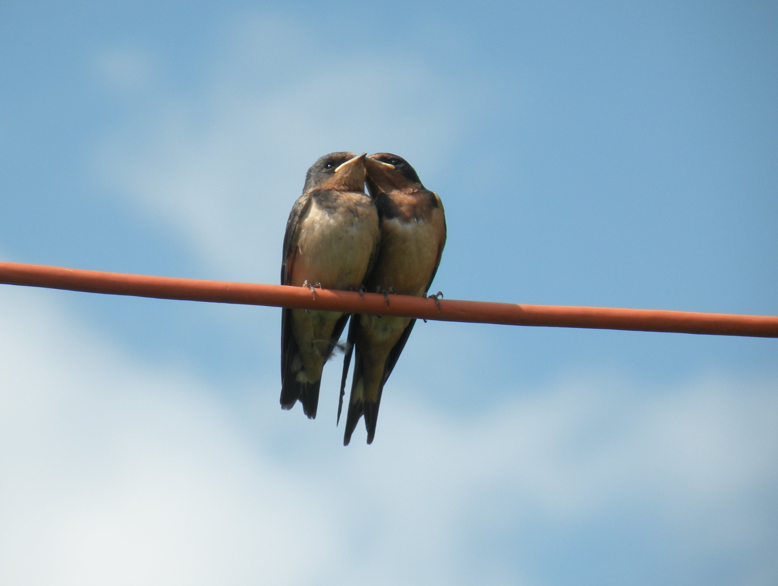 swallows - love birds
