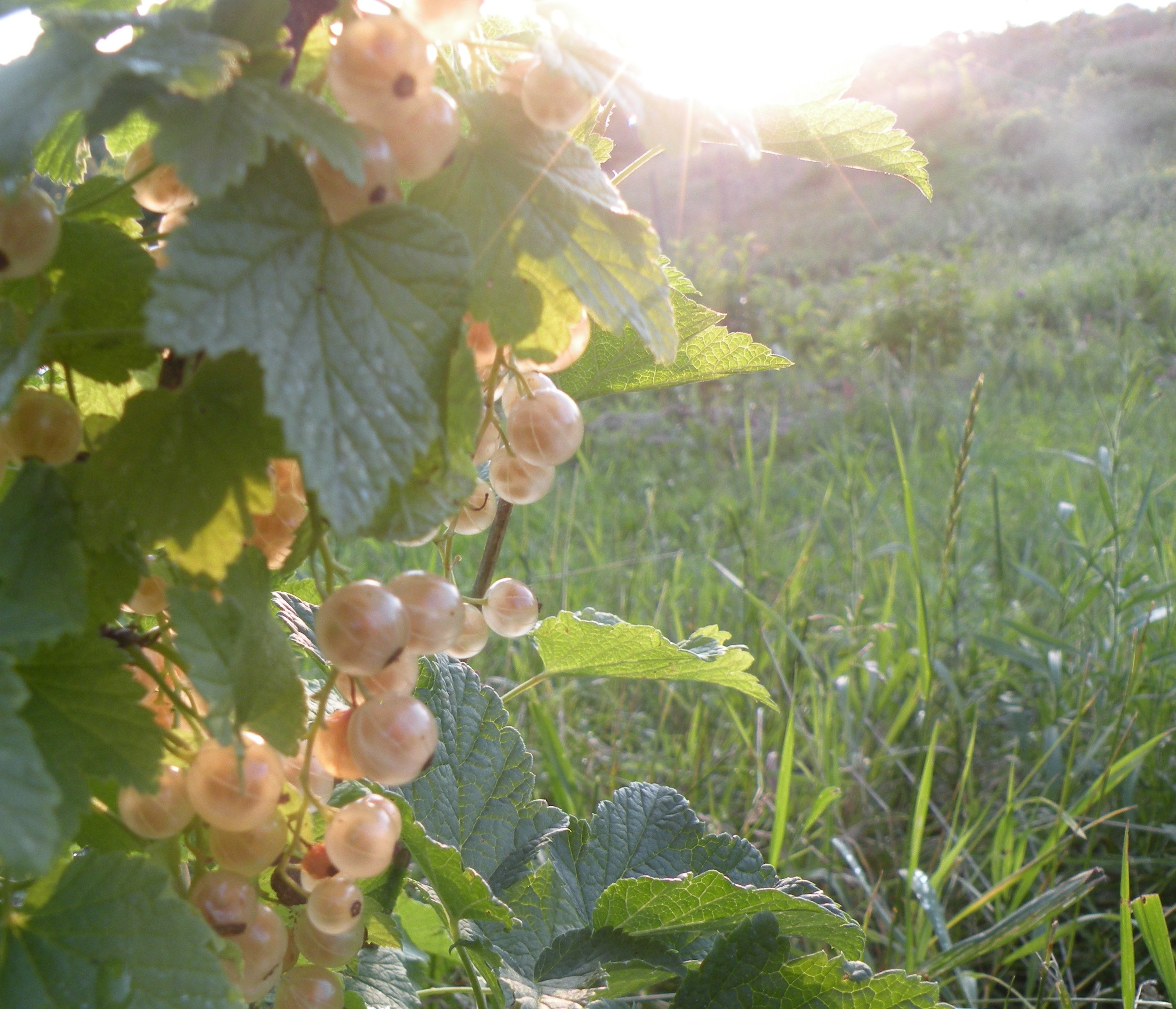 white currant fruit ripening in an early July sunset. Photo by Erin Schneider