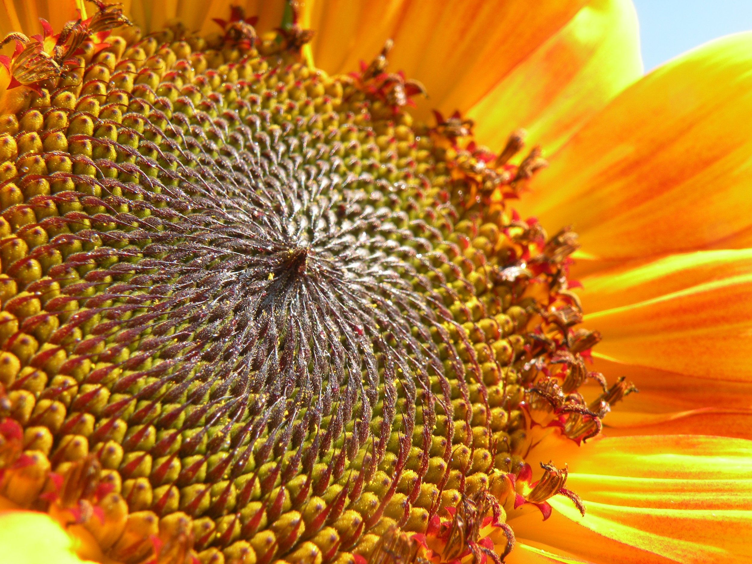 Fibonocci sequence abounds in sunflower seedheads. Photo by Rob McClure