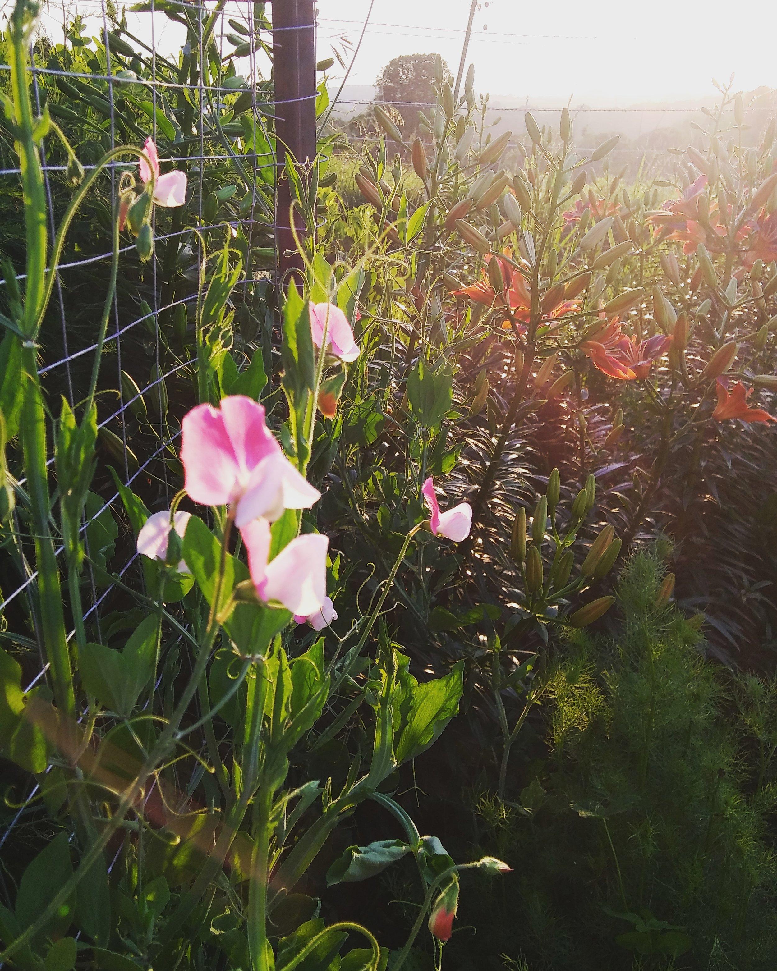 sweet pea sunset 6-29-19.jpg