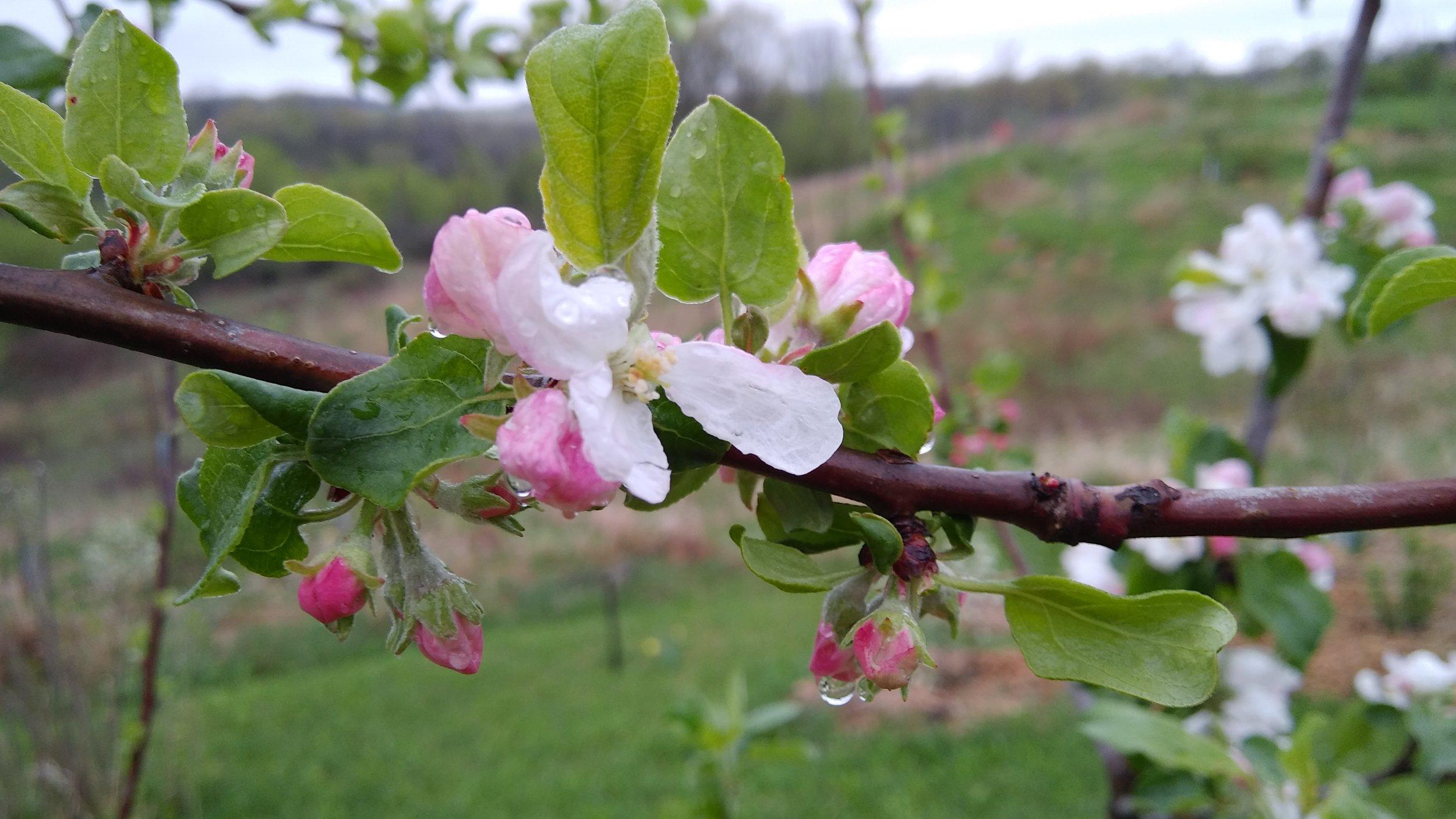 apple blossom dew 5 - 11-18.jpg