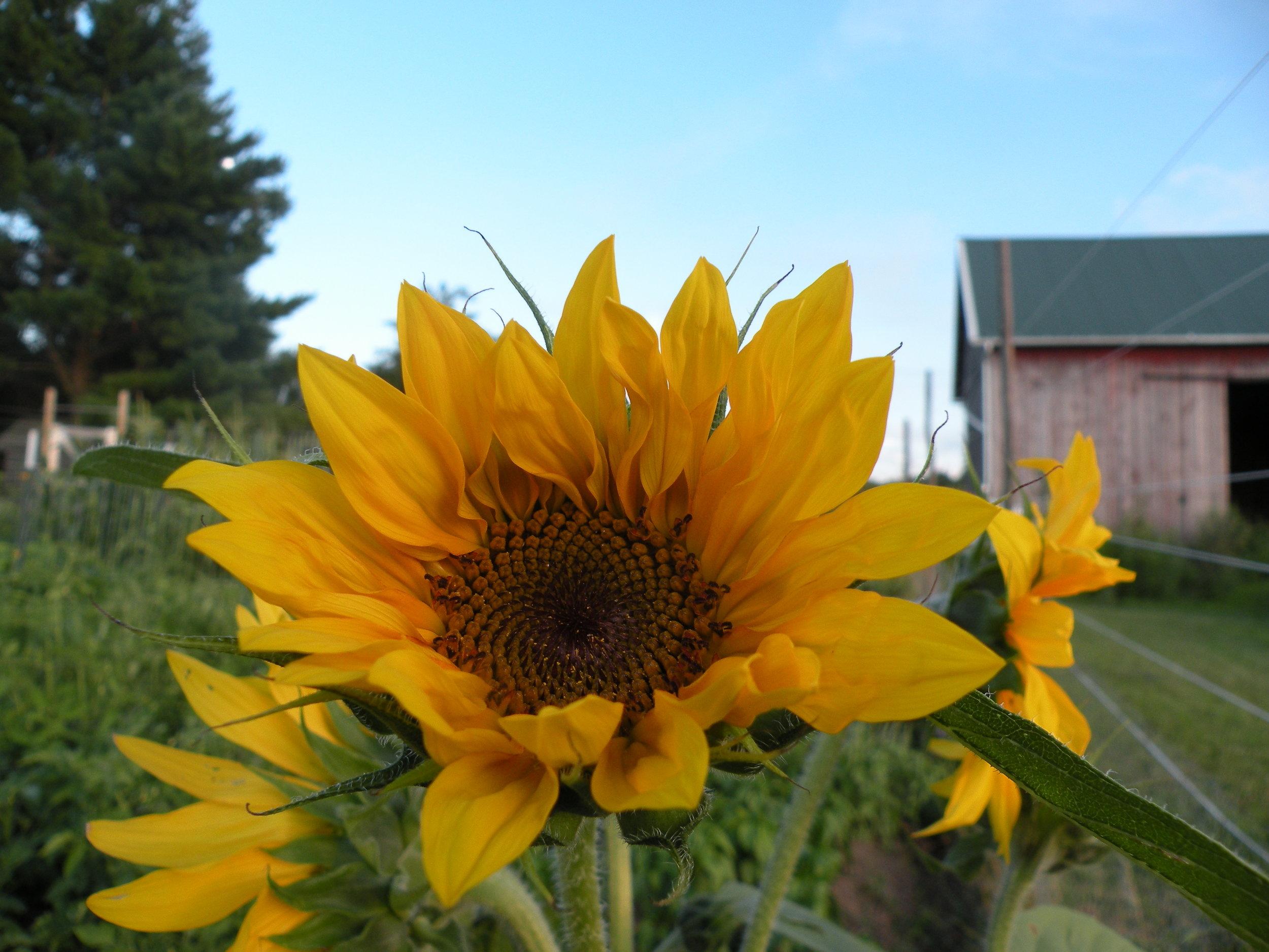 sunflower smiles 7 -1 6 - 16.jpg
