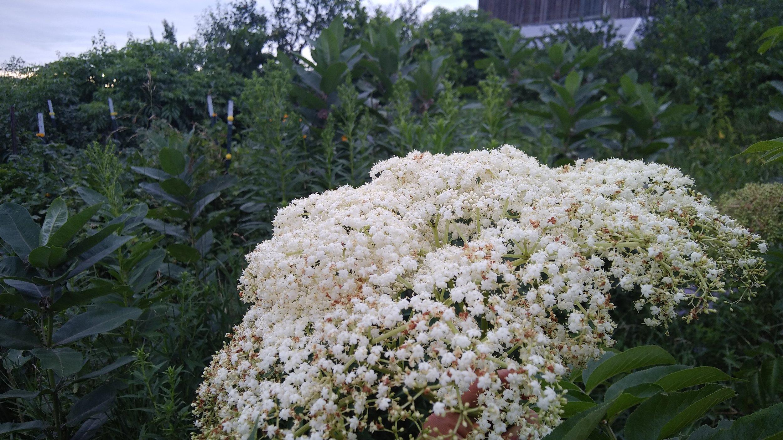 elderflower umbels.jpg