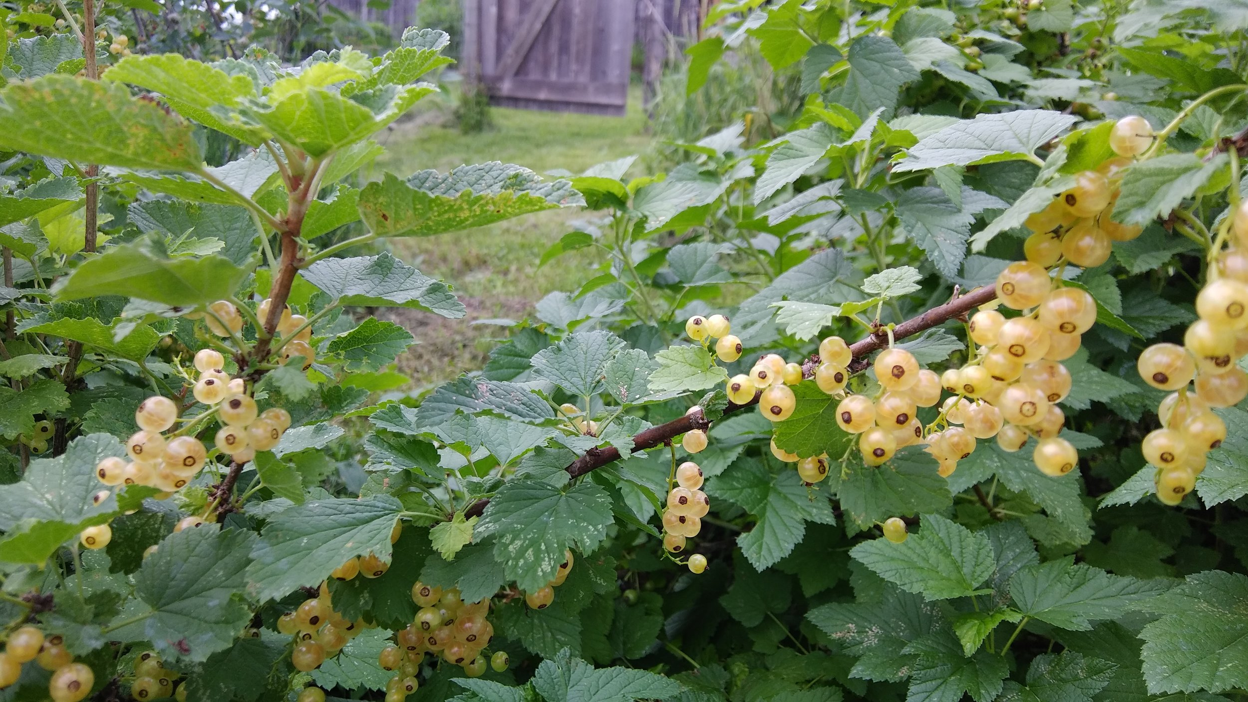 imperial white currants 6-24-18.jpg