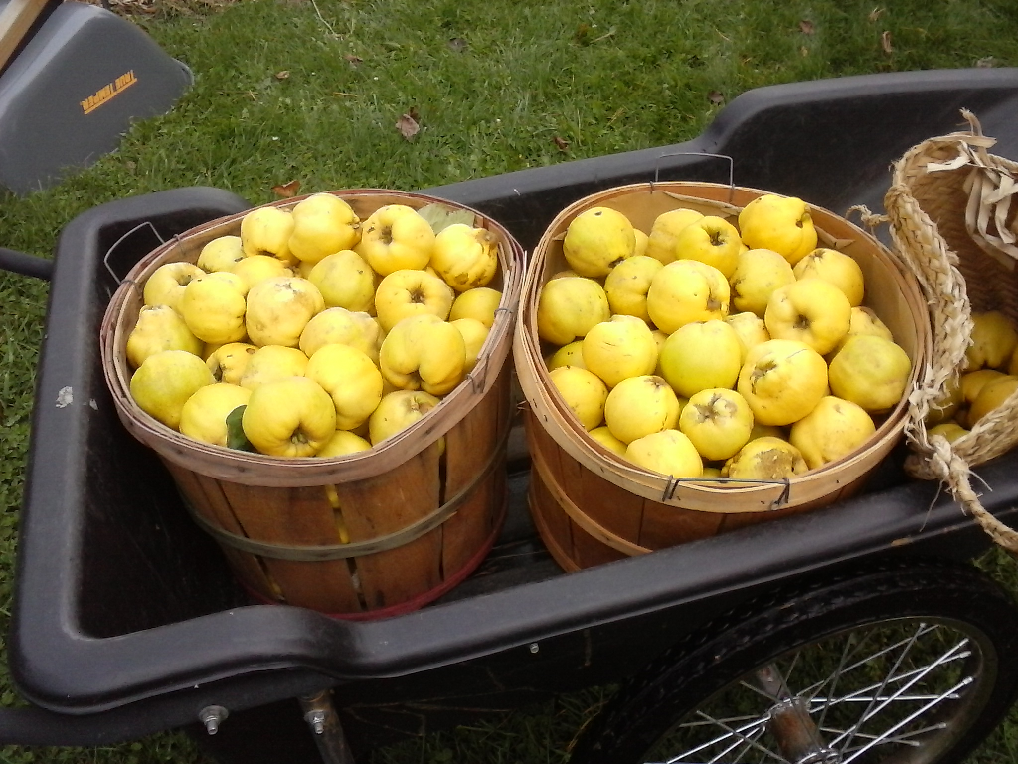 Quince, the quintessential Cooks fruit, though marginal hardiness for Wisoconsin. We found this out this year as all but one of our trees in our orchard experienced died from cold.
