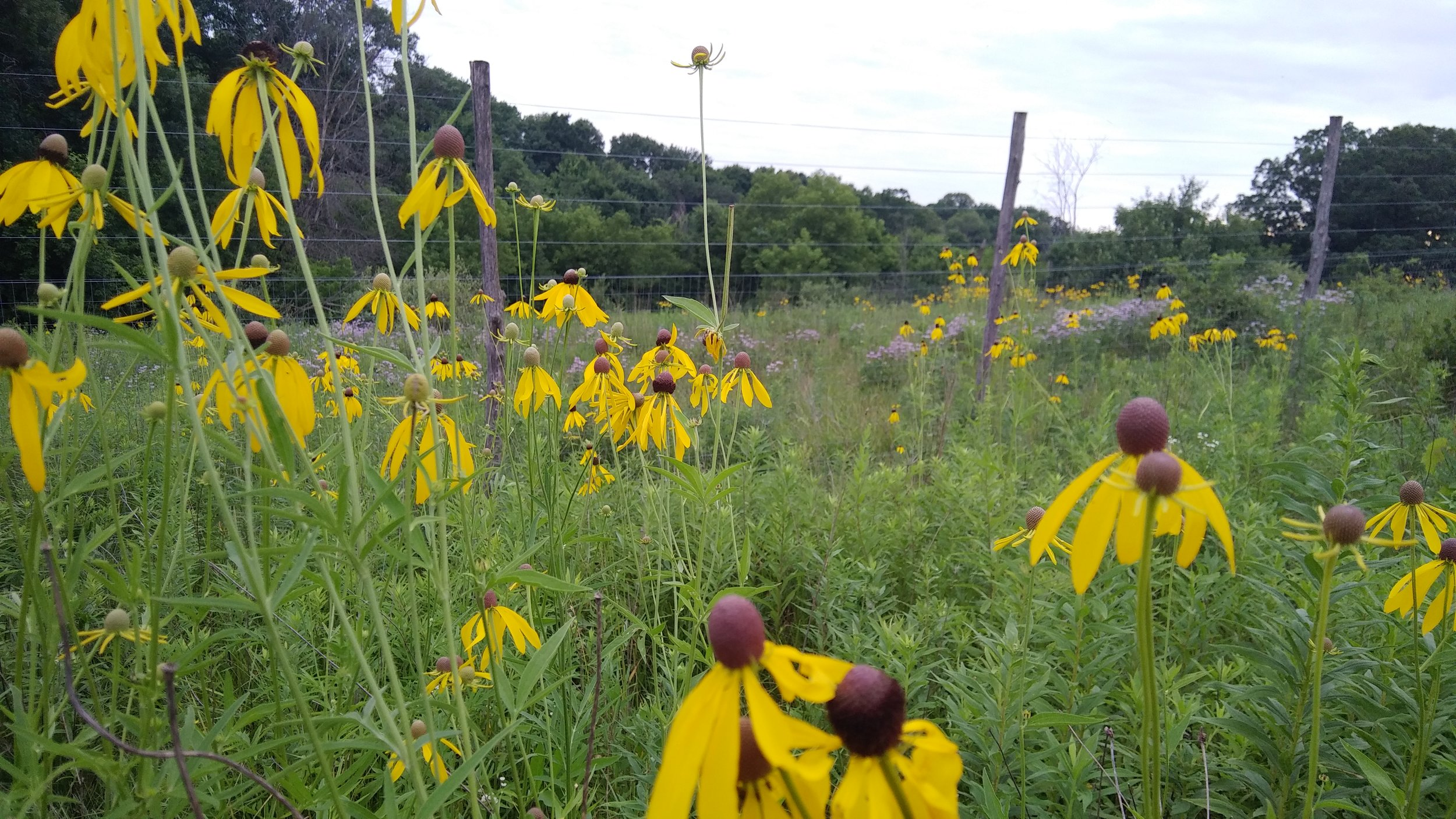 Yellow Coneflower a native perennial flower that graces the prairie and field borders as well as your vases. July 2018 Photo by Erin Schneider