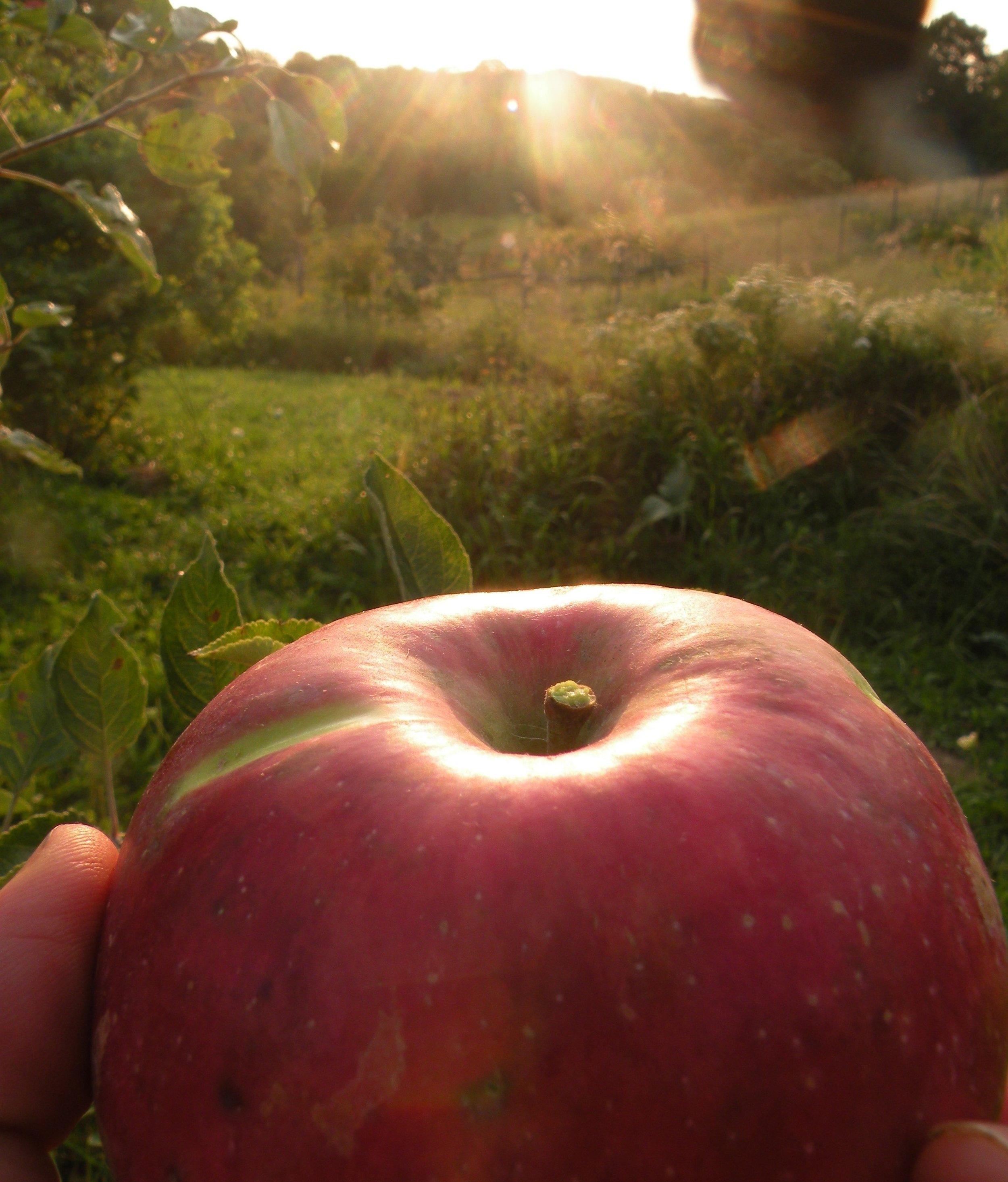 Zestar apple sunsets Photo by Erin Schneider