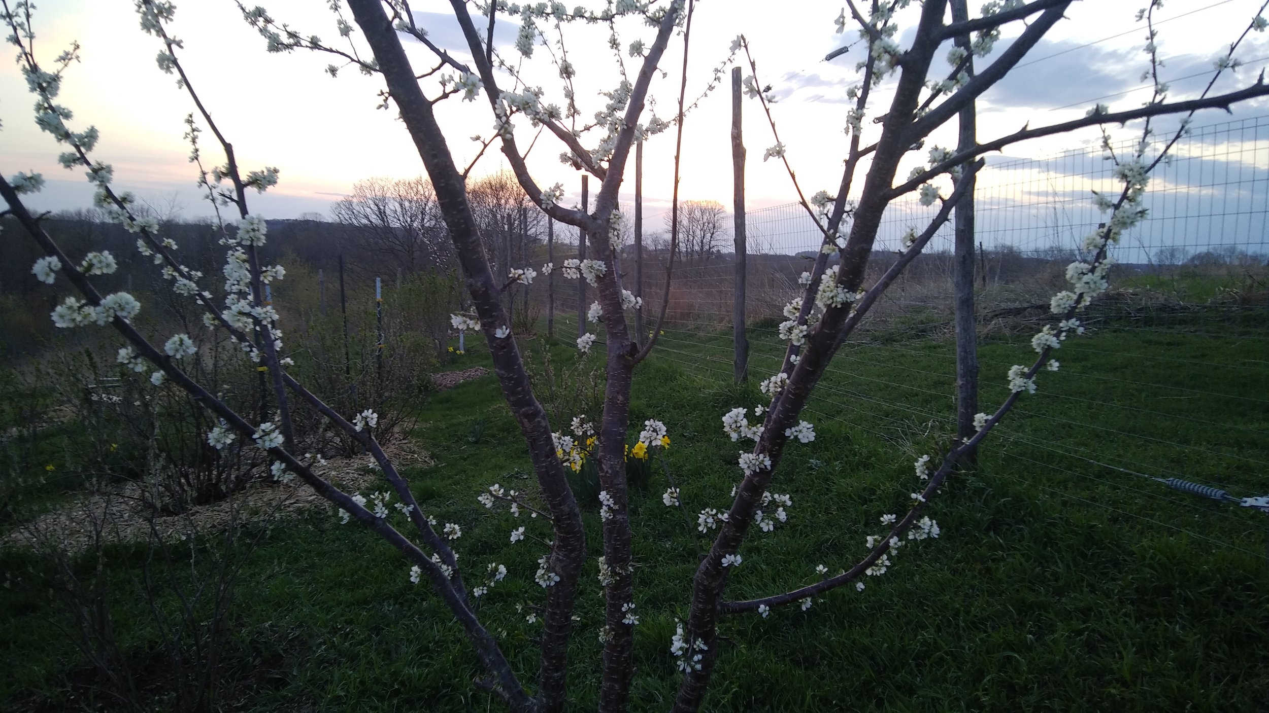 Apricot blossoms in late April. Photo by Rob McClure