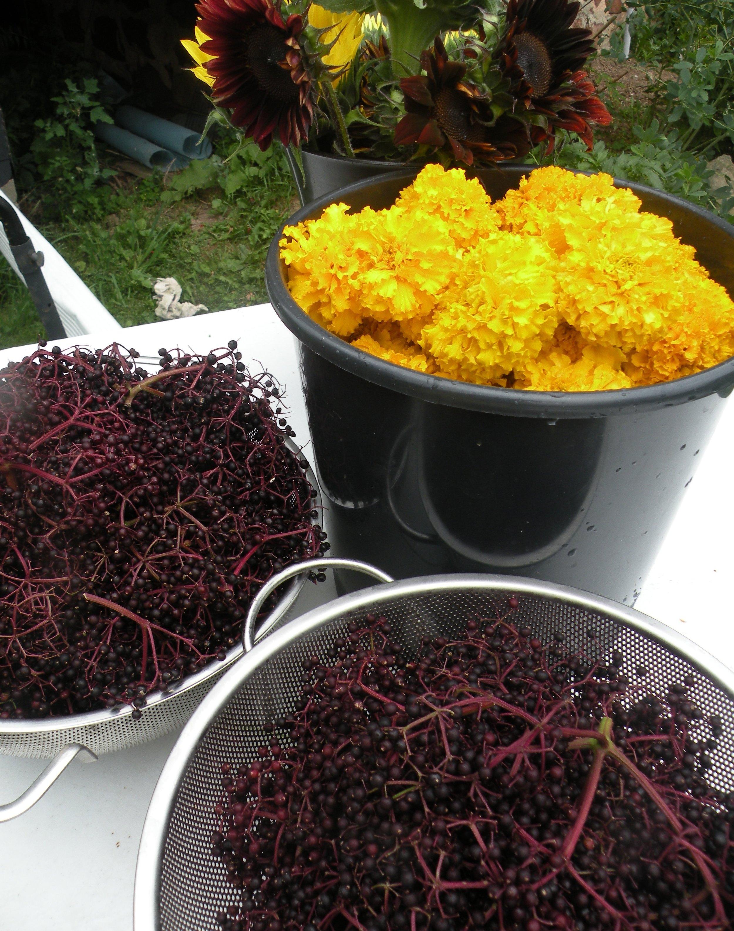 elderberry loves marigolds.jpg