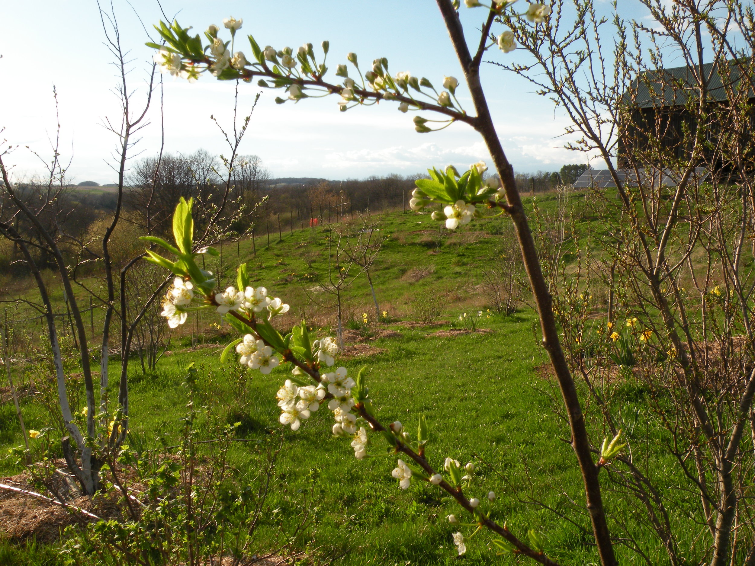 plum blossoms sweetening the orchard afternoon. Photo by Rob McClure