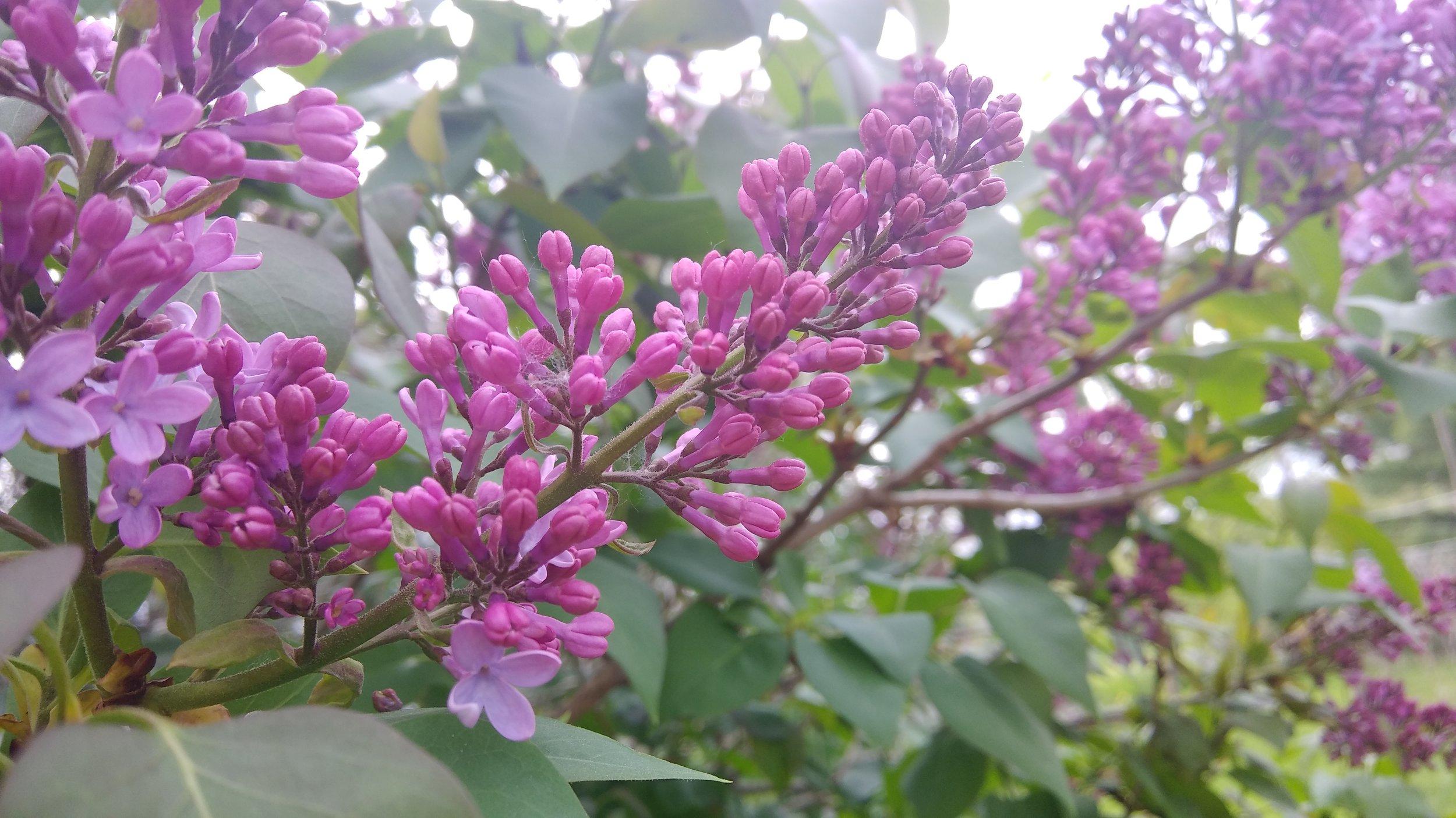 lilac bloom may 2019