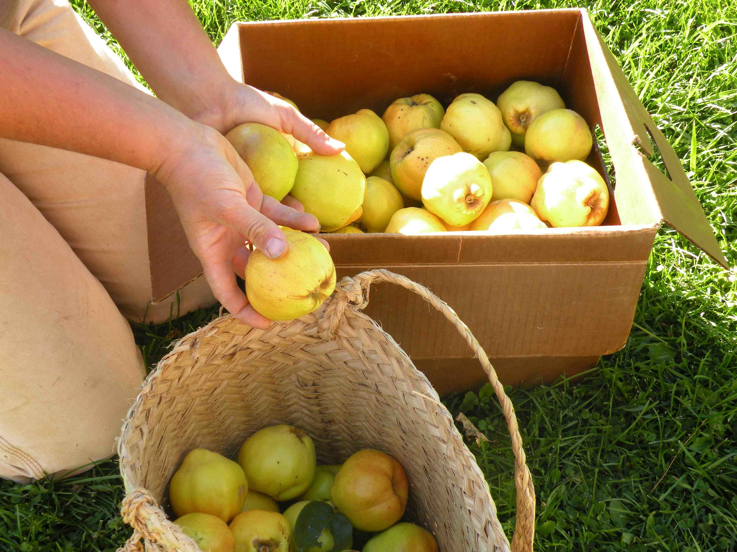 Harvesting our first crop of quince fruit in 2015.