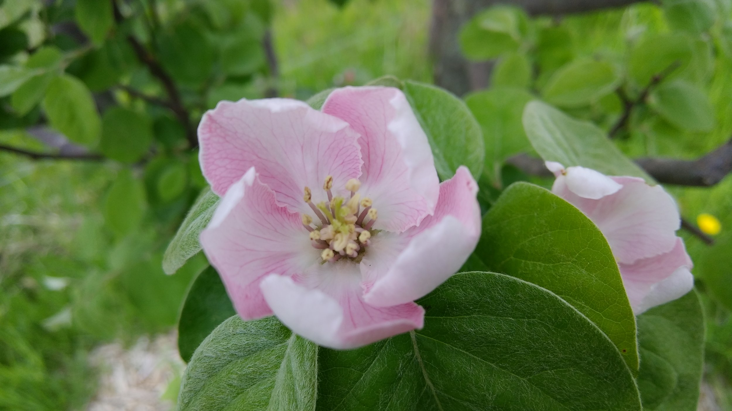 Quince blossom bliss. Photo by Rob McClure