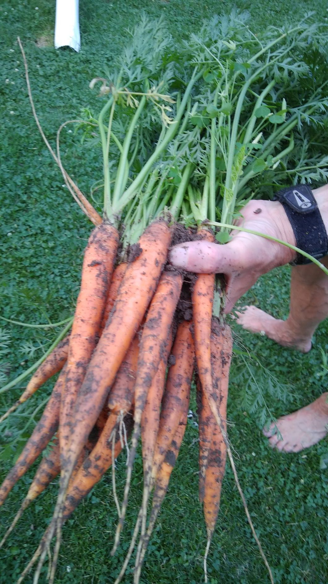 carrots 7 - 20 - 19.