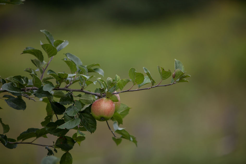 Jonagold apples. Tree fruit in particular, seemed to have taken a break after a harsh winter. Photo by Treasure People Photography