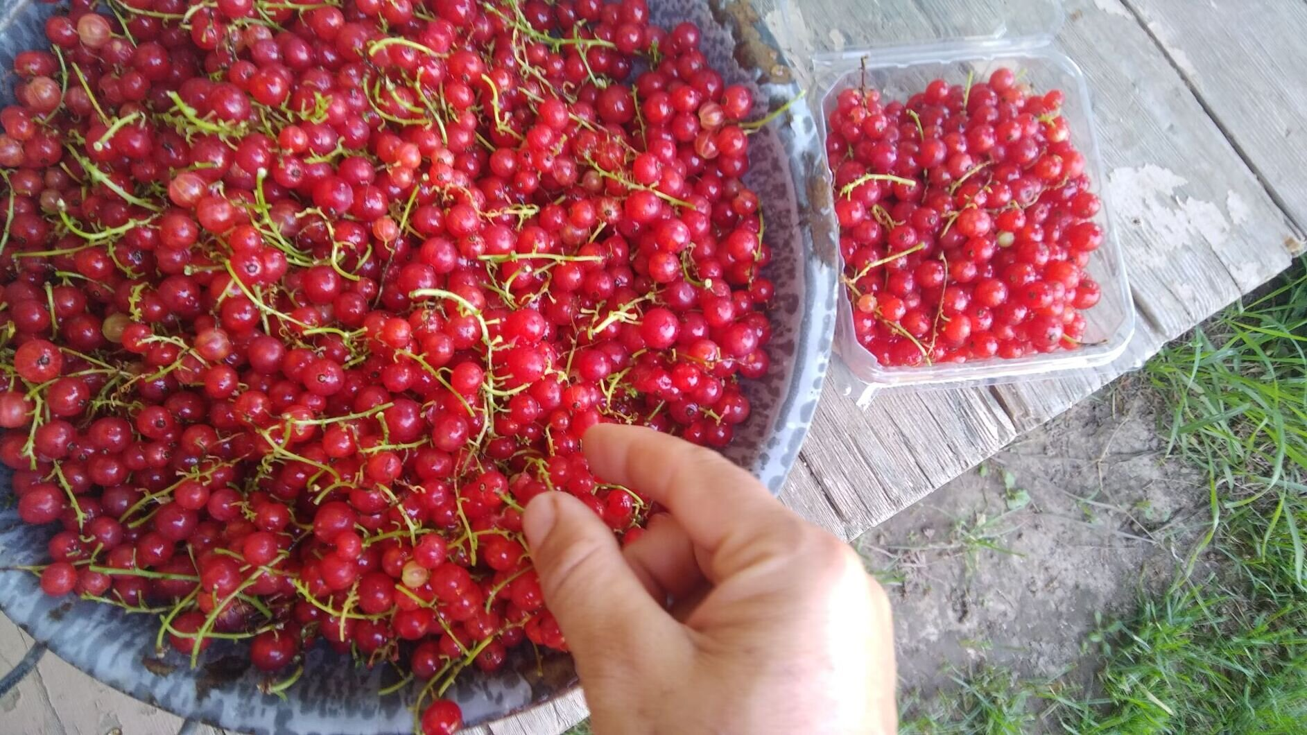 Red currant harvest sampler. Photo by Erin Schneider
