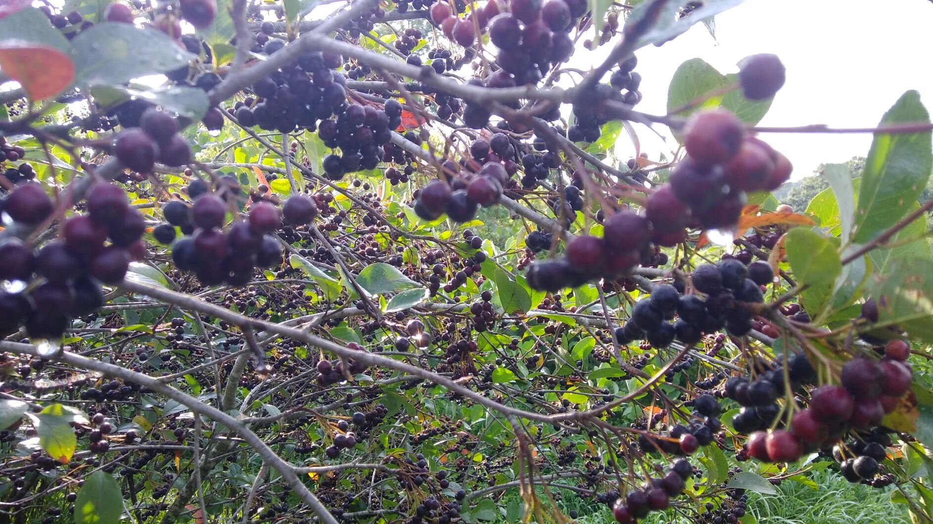 Aronia fruit set in our orchard. Photo by Erin Schneider