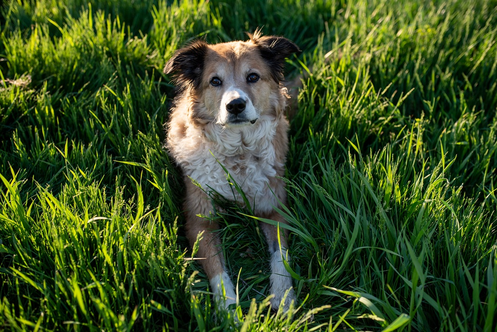 A dog at Poudre River Stables at sunset. Family and pet portrait photography by Sonja Salzburg of Sonja K Photography.