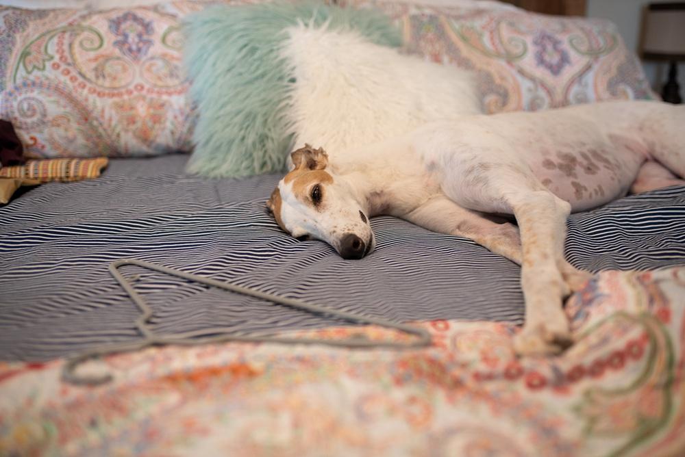 adorable sleepy greyhound at a Colorado wedding