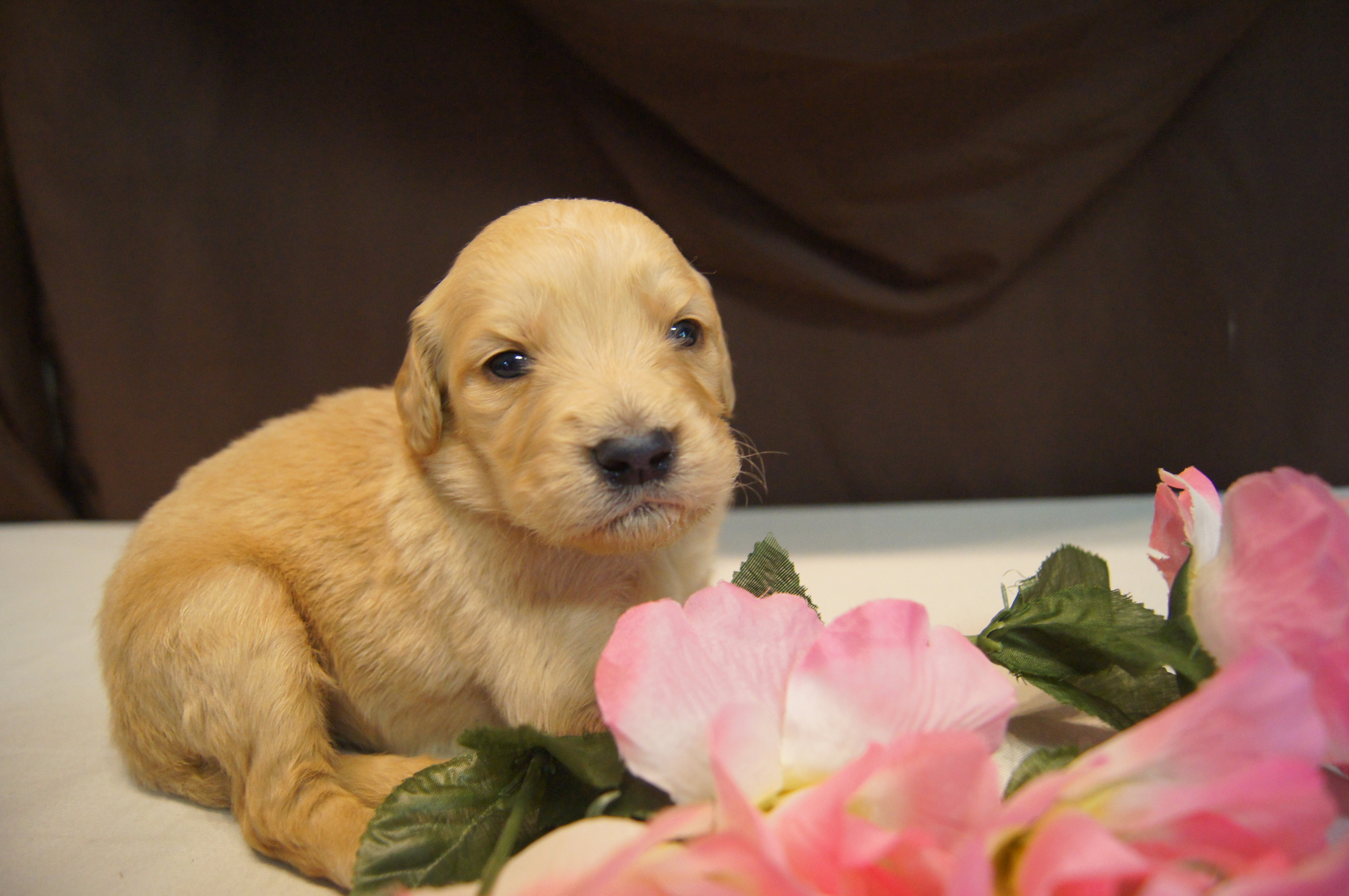 Dakota's and Toby have an amazing litter of F2 goldendoodles for sale in Ohio.