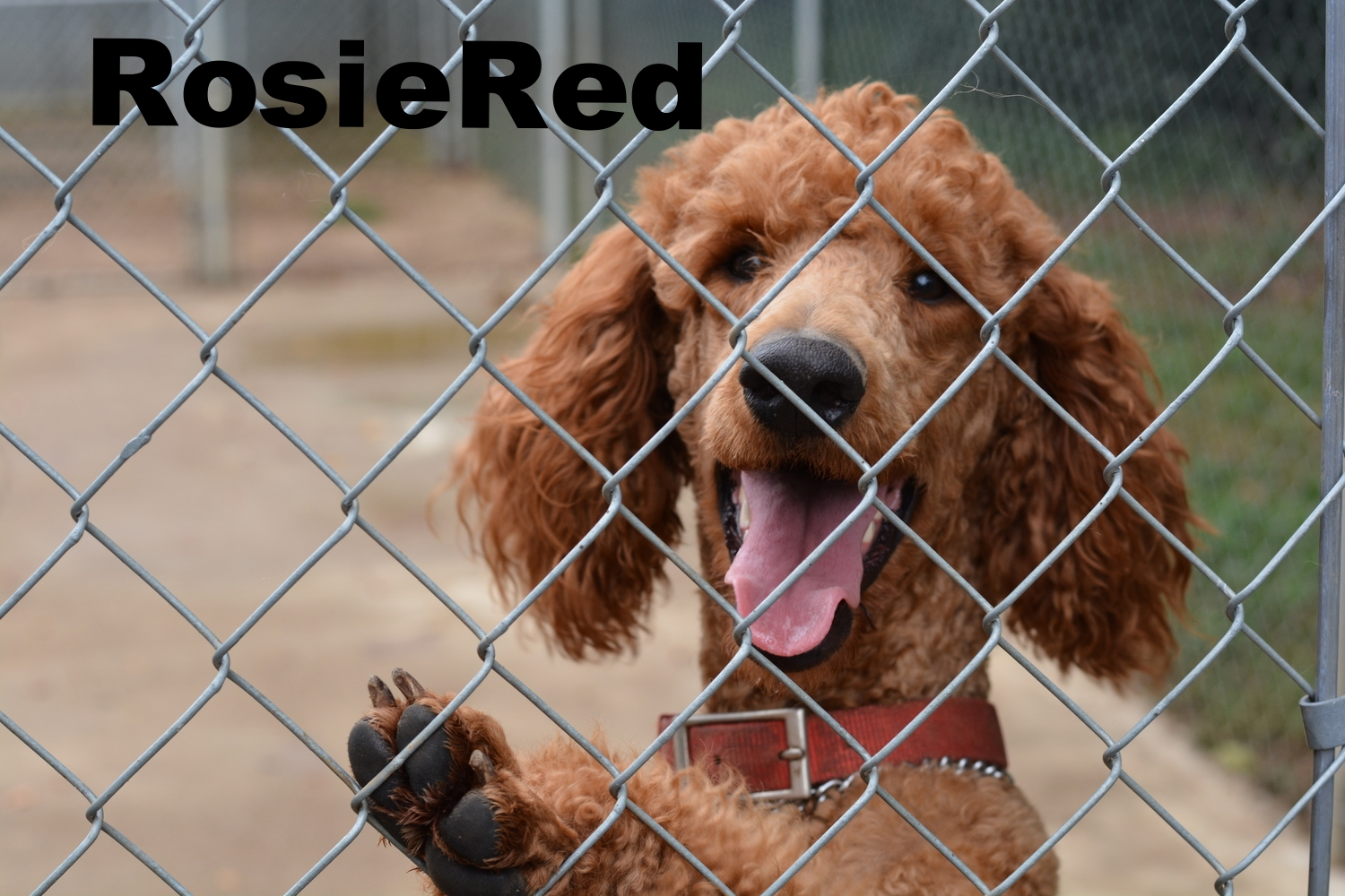 Rosie Red--- our Large red standard poodle-- Will look for xmas puppies this year from her and Toby.